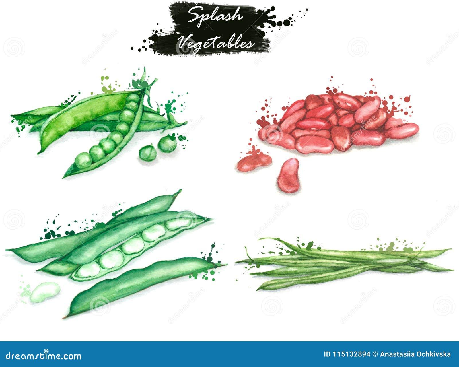 Dessins d isolement des légumes frais - rouge et haricots blancs, pois et haricots d asperge