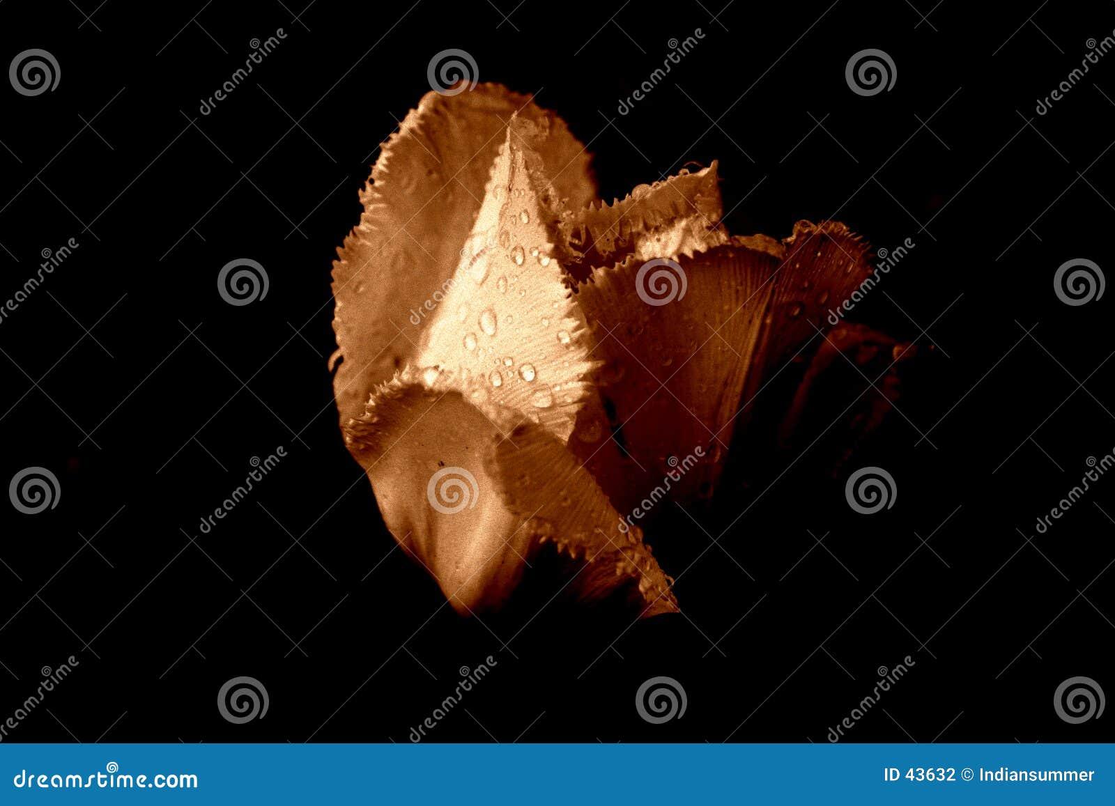 Deszcz 3 tulipan