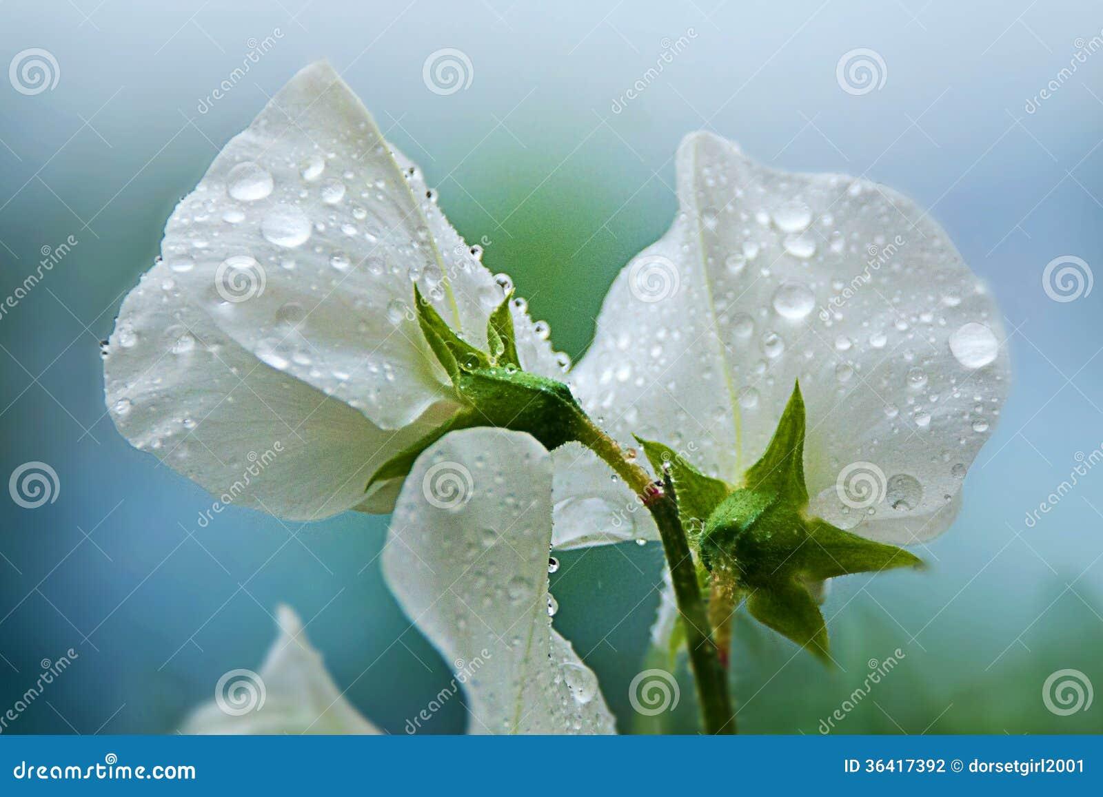 Deszcz Na Słodkich grochach