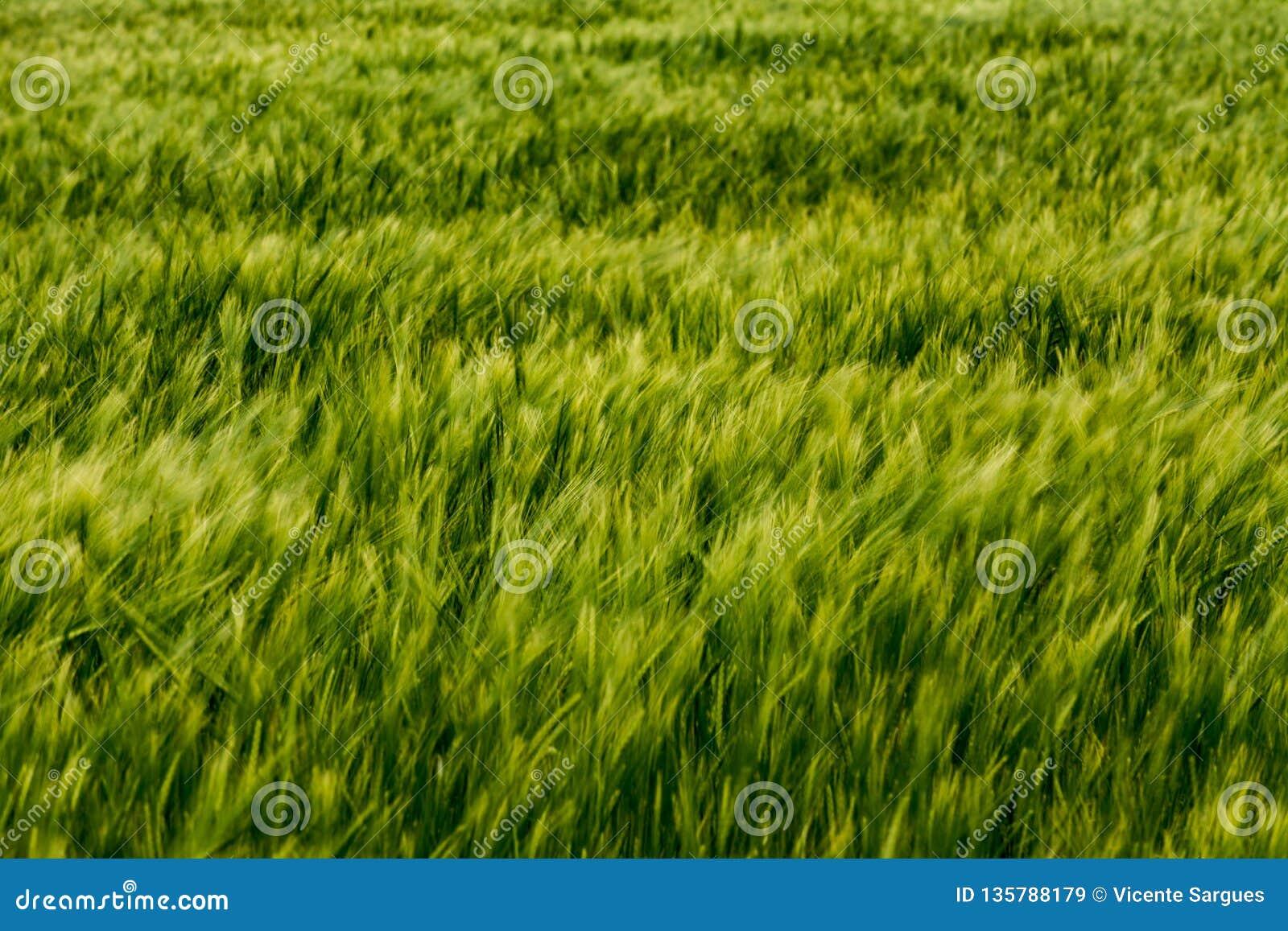 Det abstrakta sädes- gröna fältet blured grova spikar