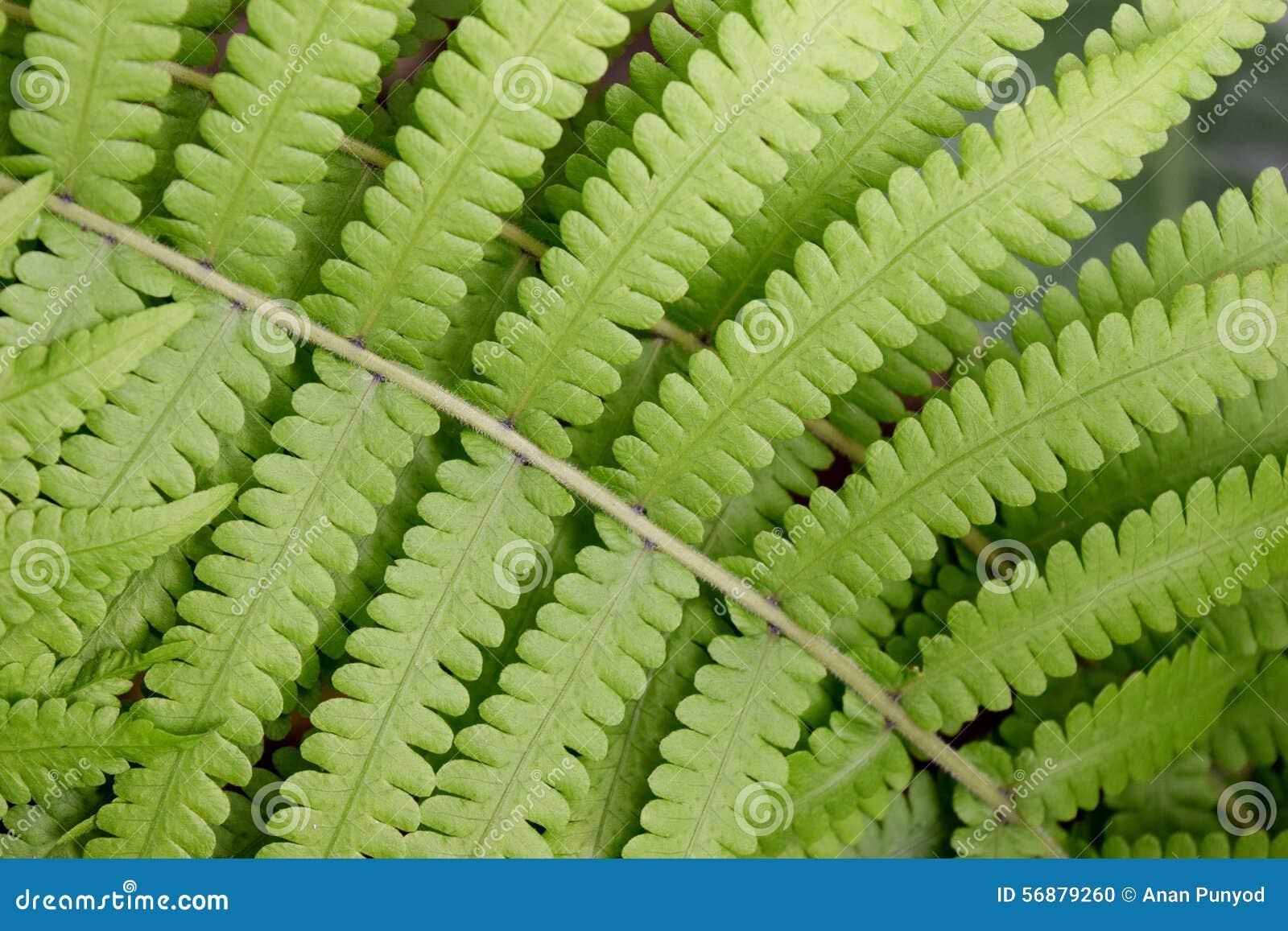 Det Beautyful bladet av ormbunken är närbildbakgrund