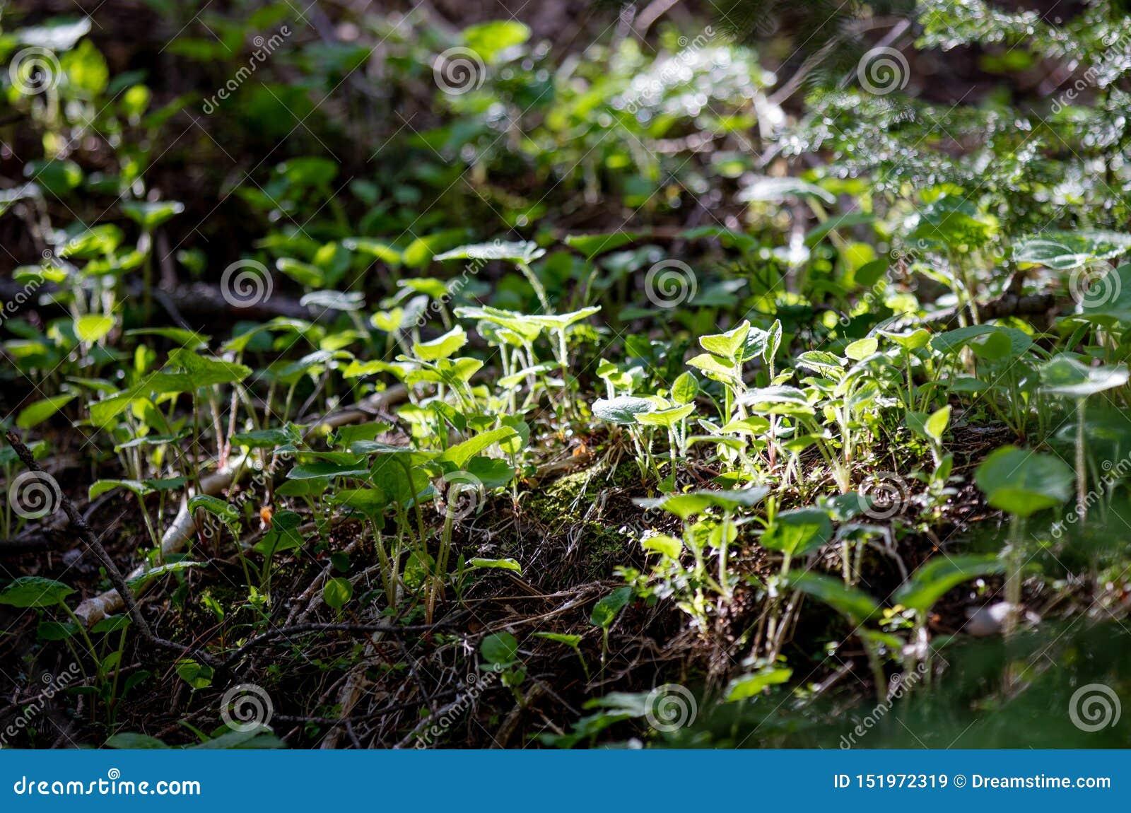 Det Beuaitulf gräsplanlandskapet med den glödande solen till och med sörjer träd