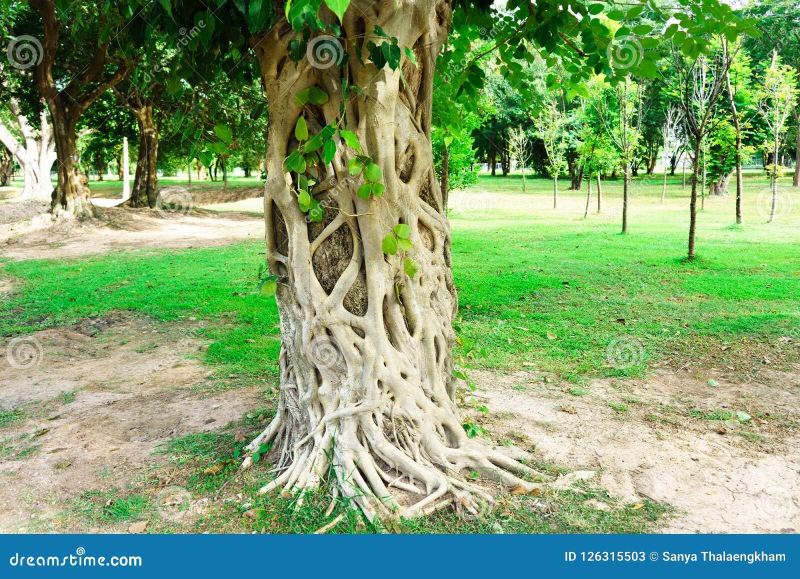 Det Bodhi trädet är det framdelen av Wat Srichum i Sukhothai historiskt P