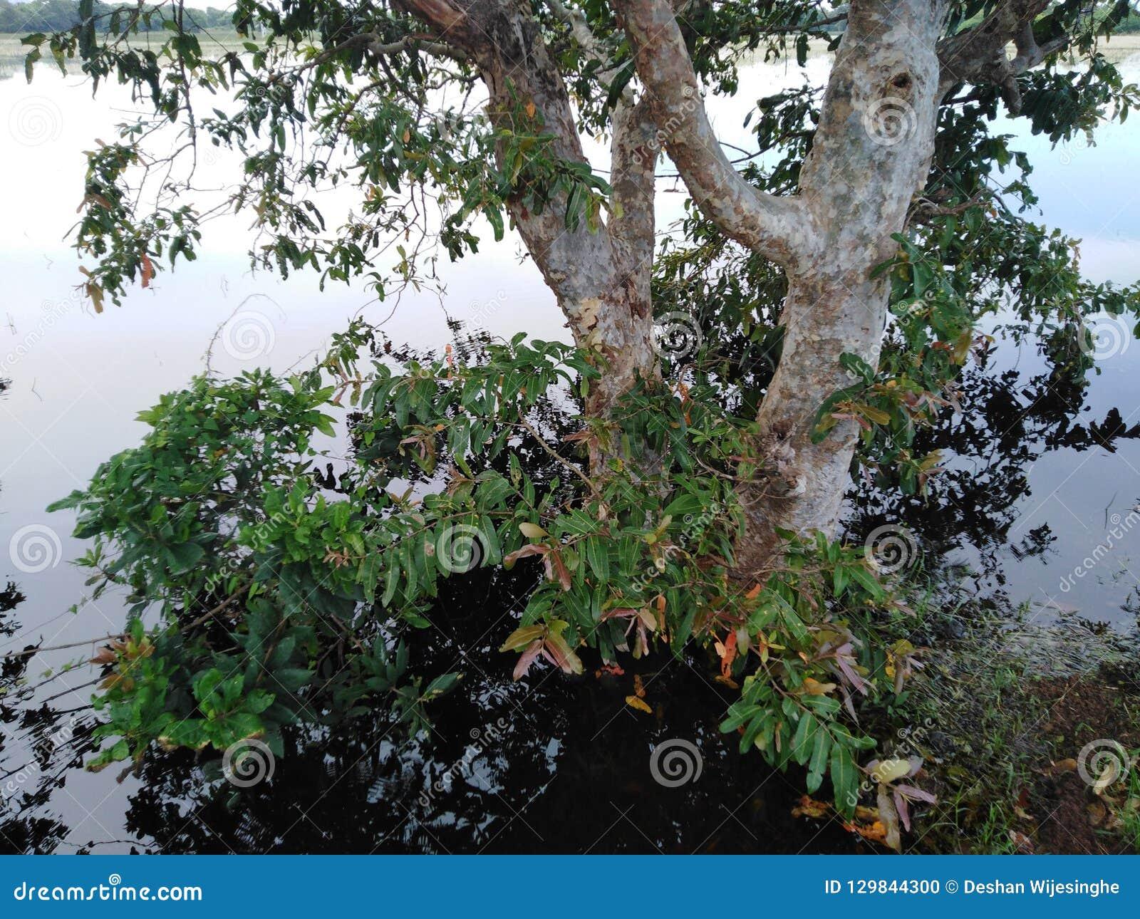 Det enorma trädet som omgavs av vatten detta träd, kallade Kubuk i Sri Lanka