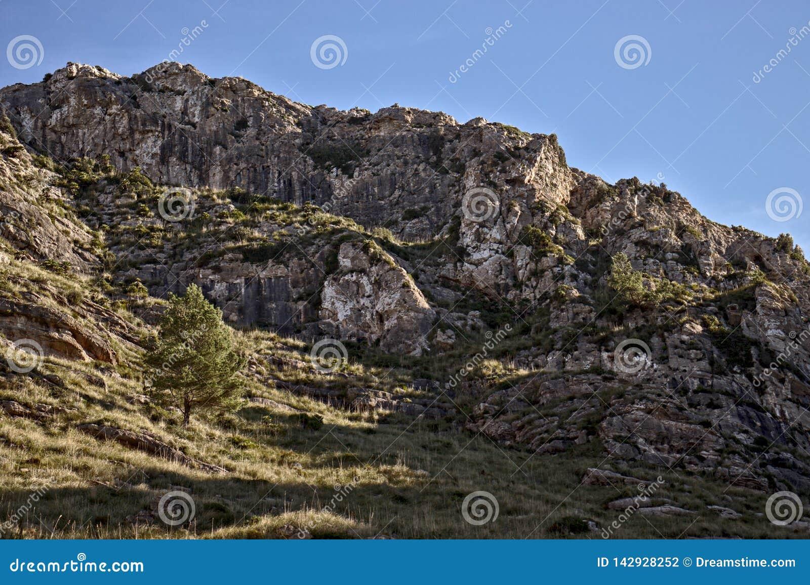 Det ensamma trädet på sida av en kulle med vaggar och gräs, blåa himlar, betlem, mallorca, Spanien