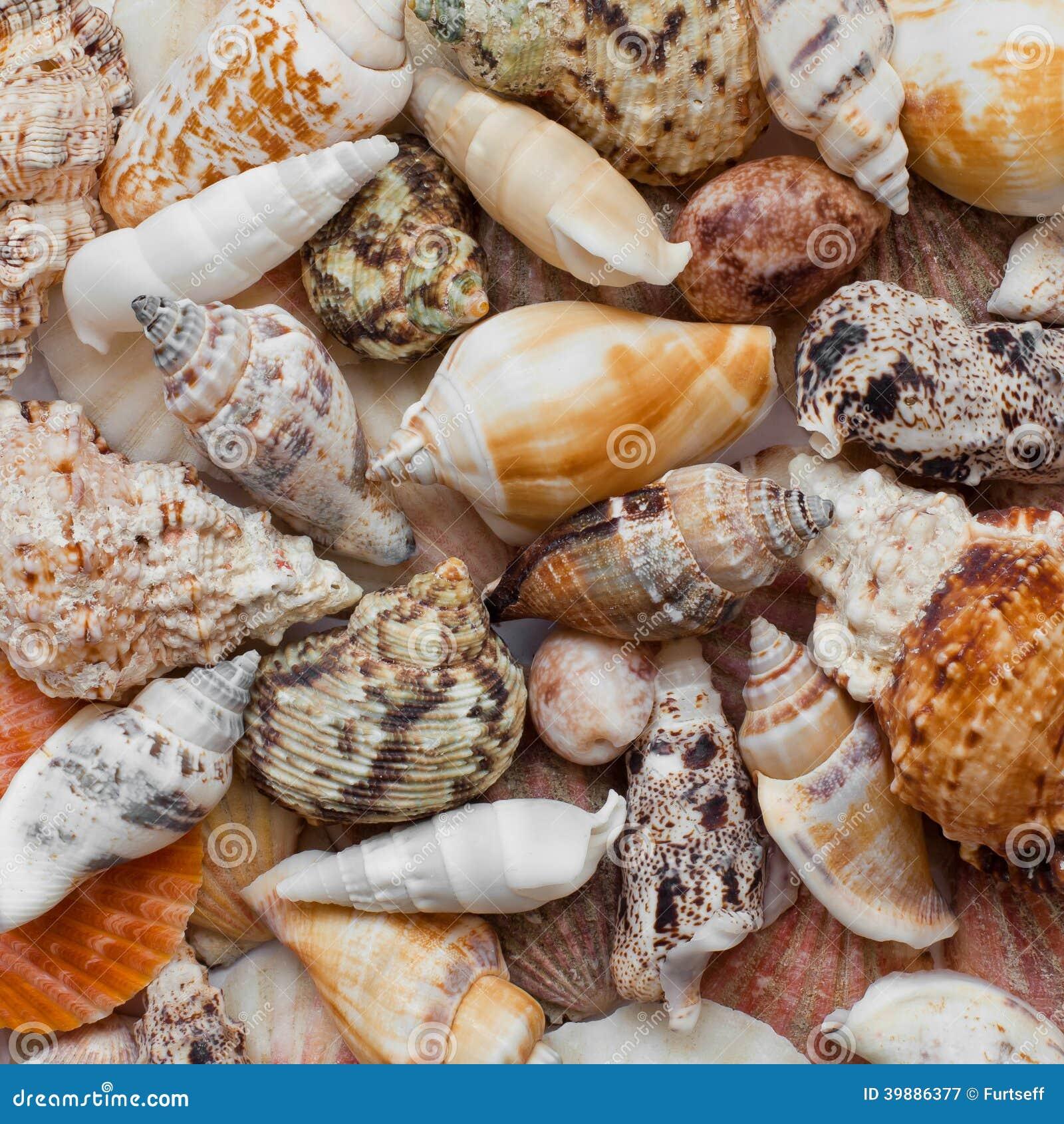 Det fästande ihop isolerade banahavet shells white