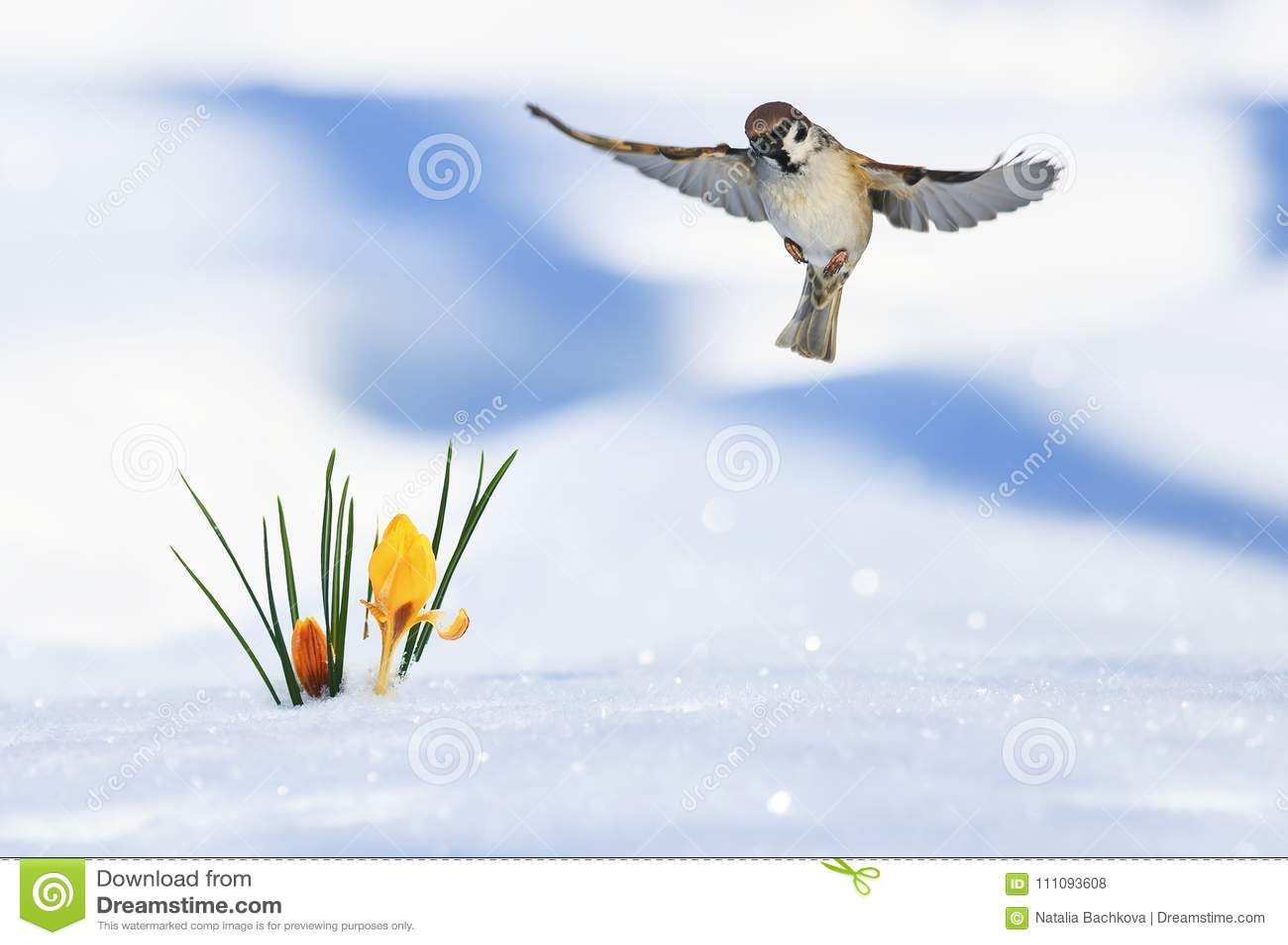 Det festliga vårkortet av den lilla fågelsparven flyger brett spr