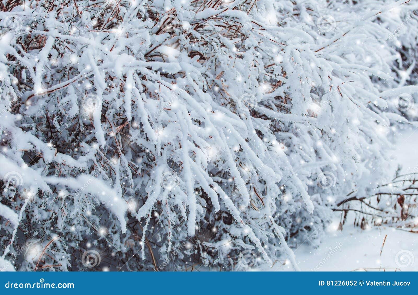 Det frostiga vinterlandskapet i snöig skog sörjer filialer som täckas med insnöat kallt väder Julbakgrund med granträd