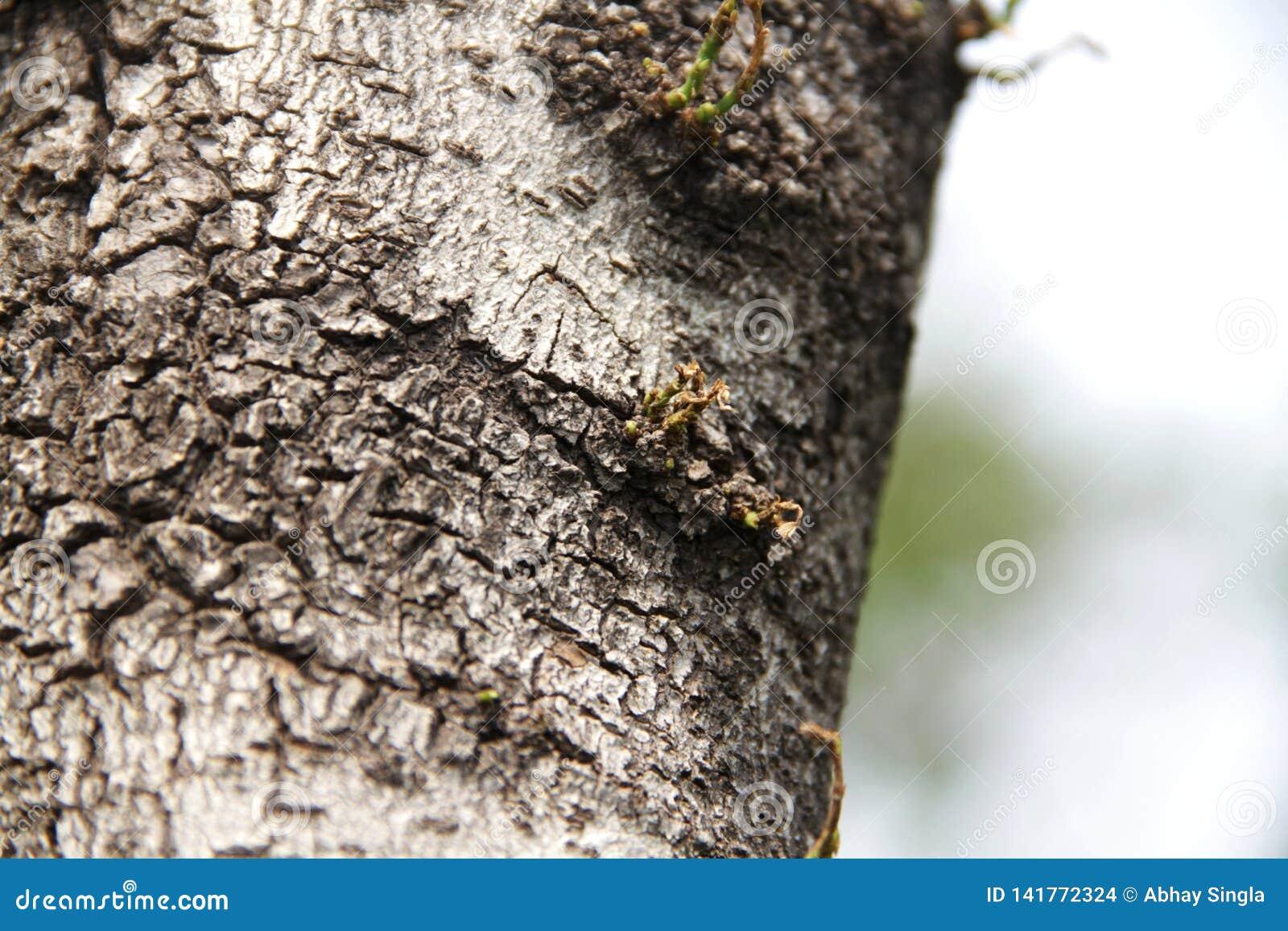 Det gamla trädet rotar vid liv