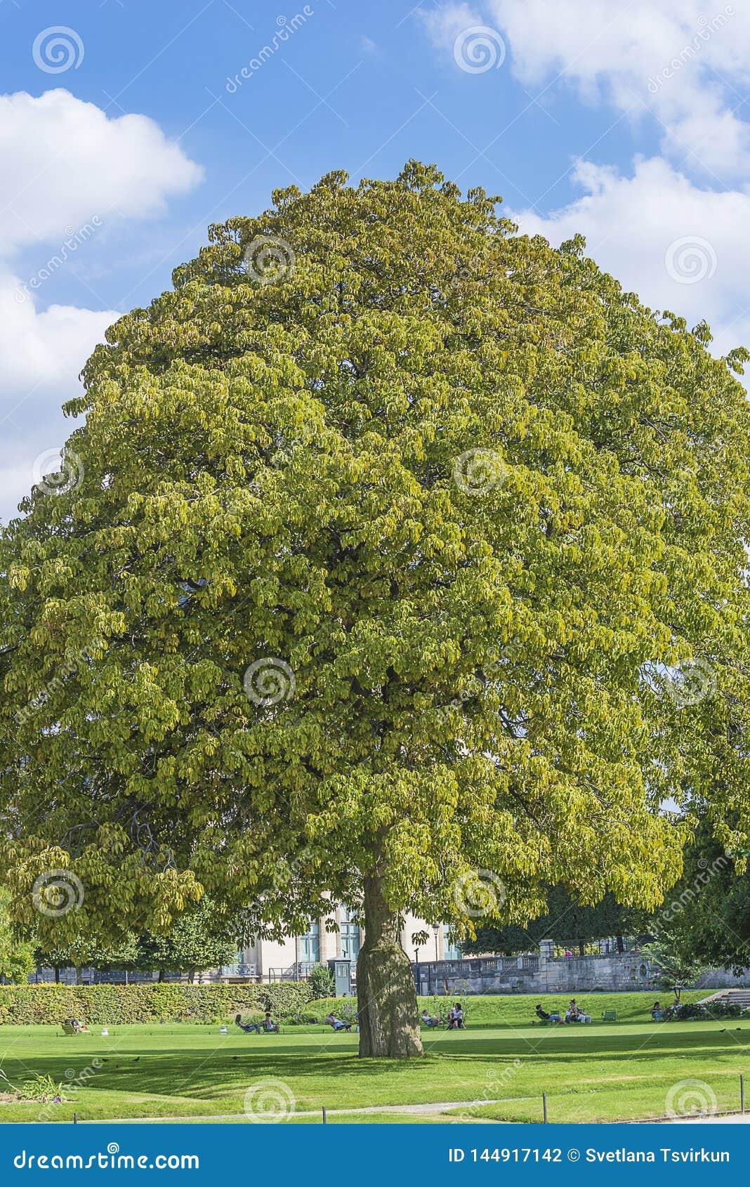 Det härliga chesnutträdet i sommaren parkerar