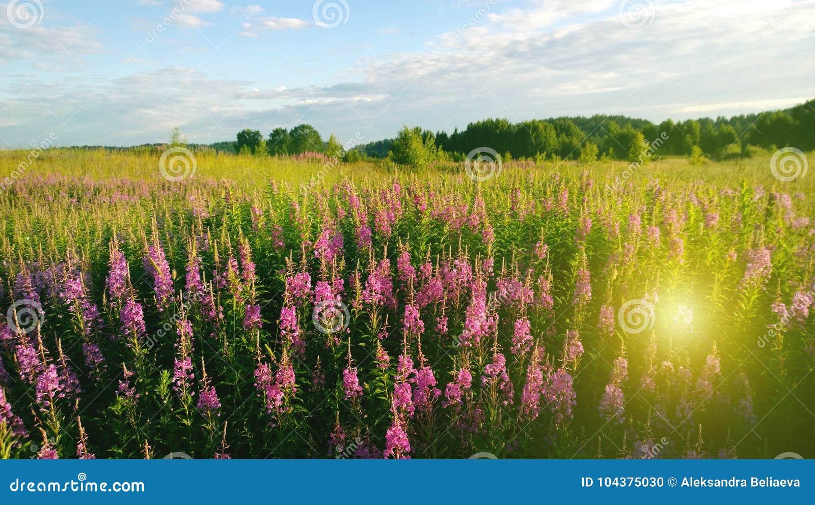 Det härliga fältet av blommaIvan-te och sol`en s rays i varm dag för sommar