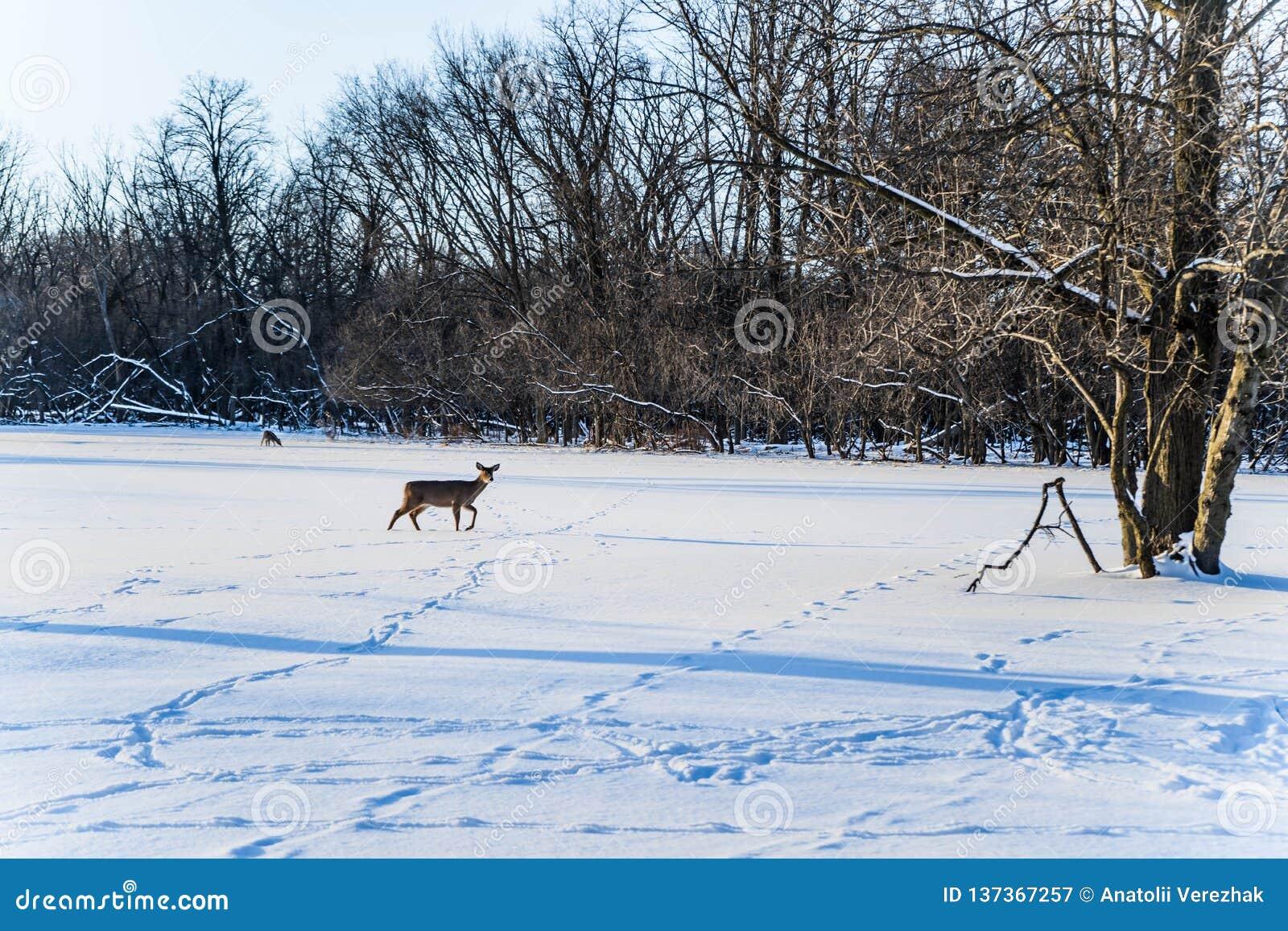 Det härliga vinterskoglandskapet med deers går i snö