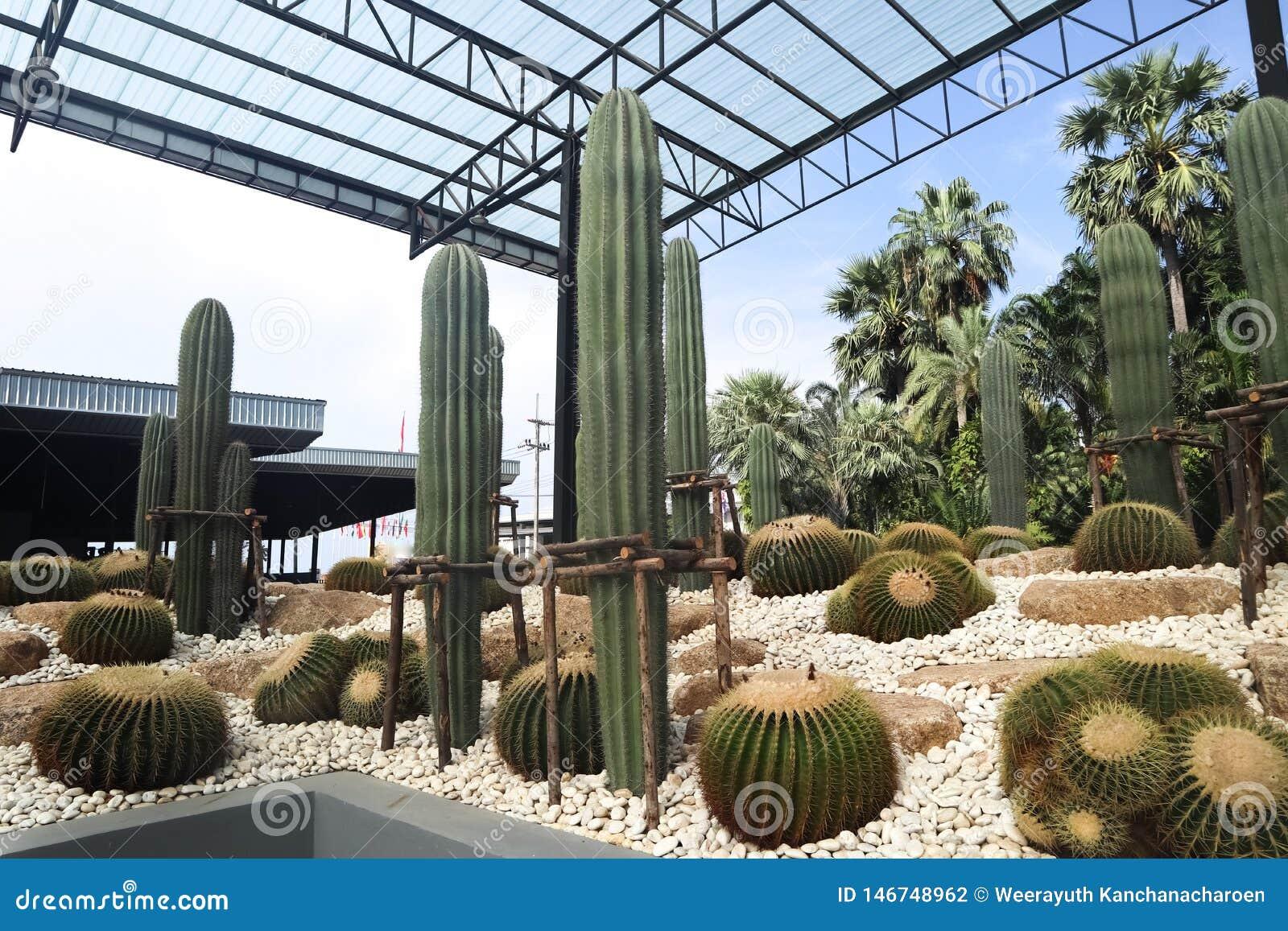 Det h?rliga kaktustr?det i de utomhus- tr?dg?rdarna och parkerar