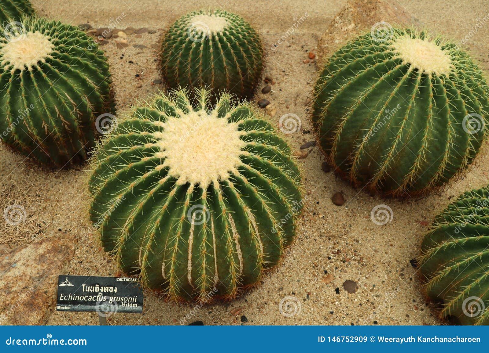 Det h?rliga kaktustr?det i det utomhus- arbeta i tr?dg?rden och parkerar