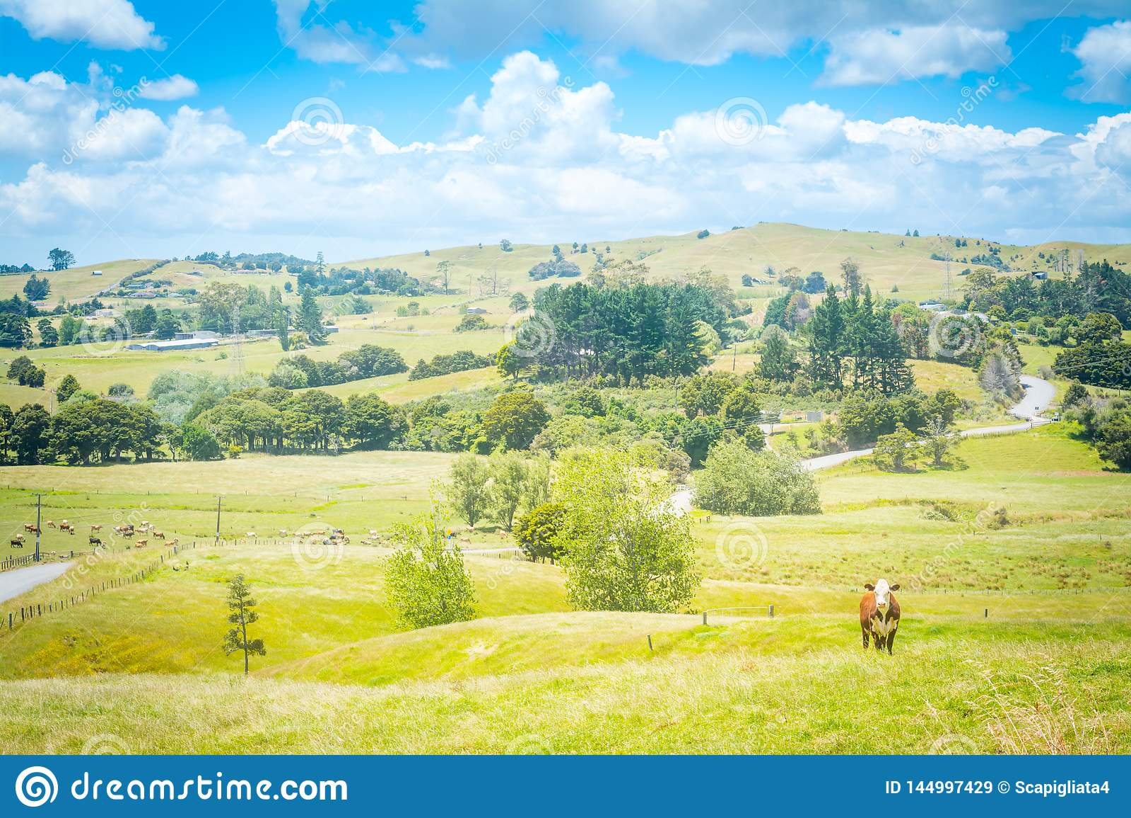 Det Idillic landslandskapet med en röd ko som ser rak in i kamera från en frodig gräsplan, betar av gräs