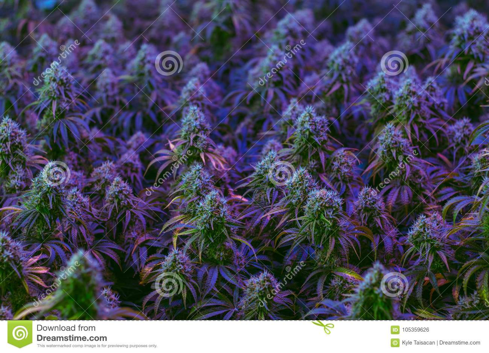 Det inomhus fältet av färgrika medicinska marijuanaväxter som odlas för alternativ sjukvård, ämnar