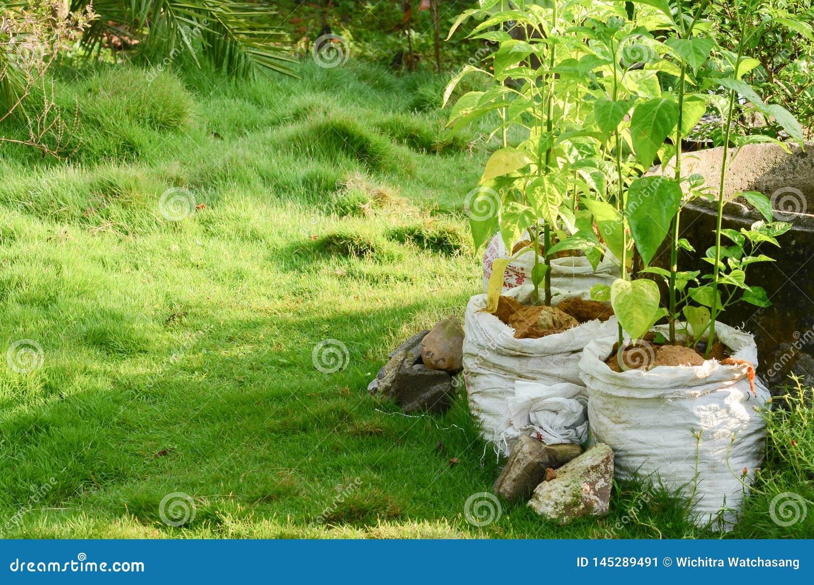 Det jordbruks- systemet i Thailand, namn är Thailand tillräcklighetekonomi, peppar i den vita krukan