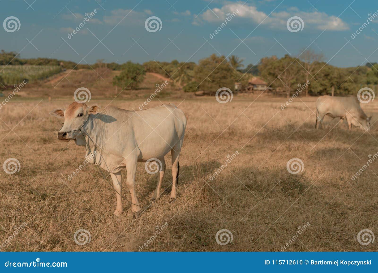 Det kambodjanska koskrubbsåret betar in, det Banlung landskapet askfat