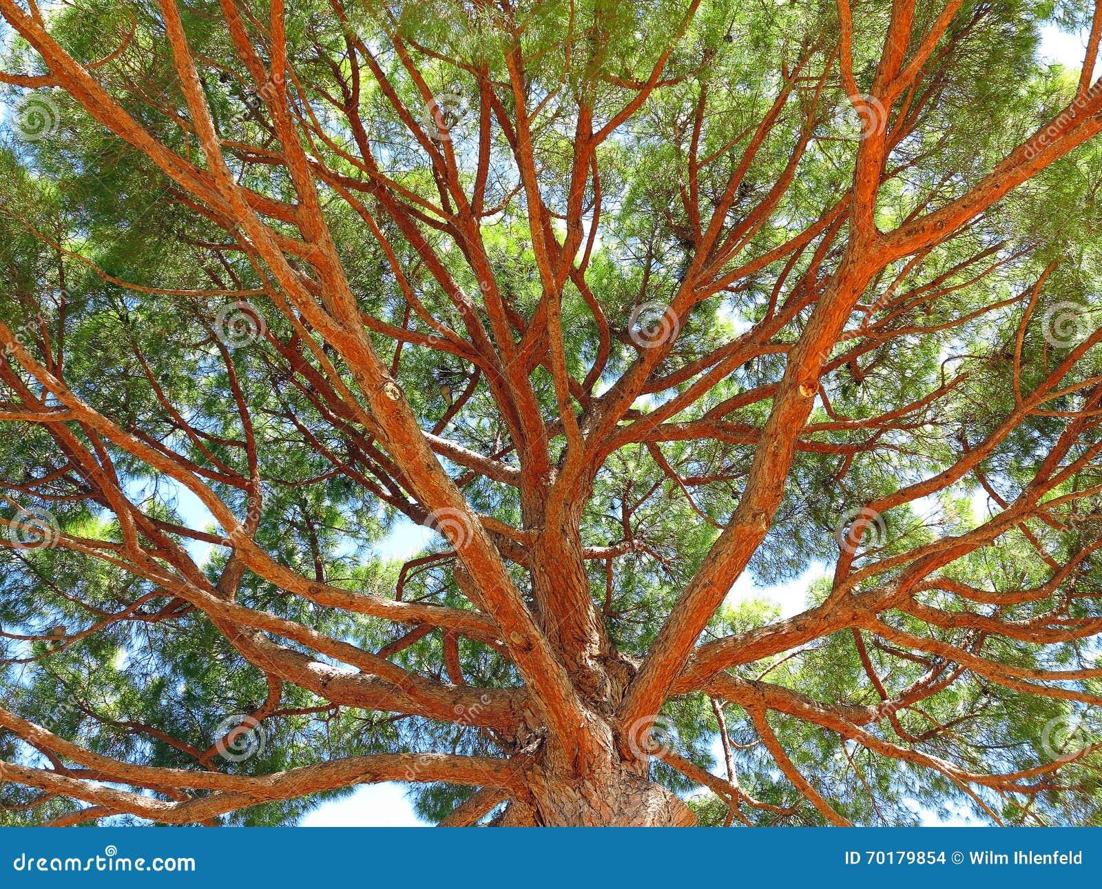 Det Pinus Pinea paraplyet sörjer treetopen