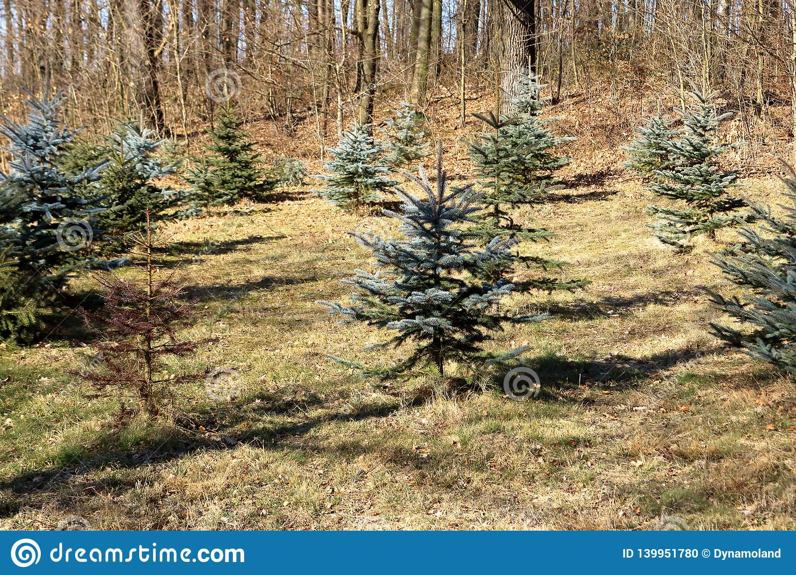 Det plantera materielet av sörjer träd
