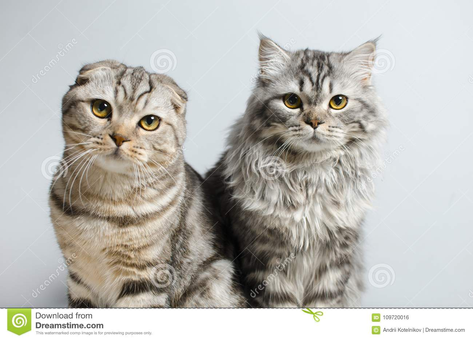 Det skotska vecket och skotska pryamouhy, blått marmorerar katter På en whi