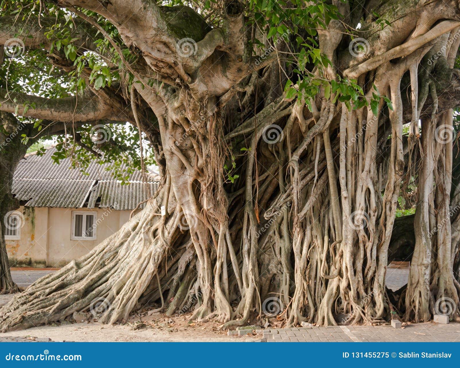 Det stora Banyanträdet rotar i staden