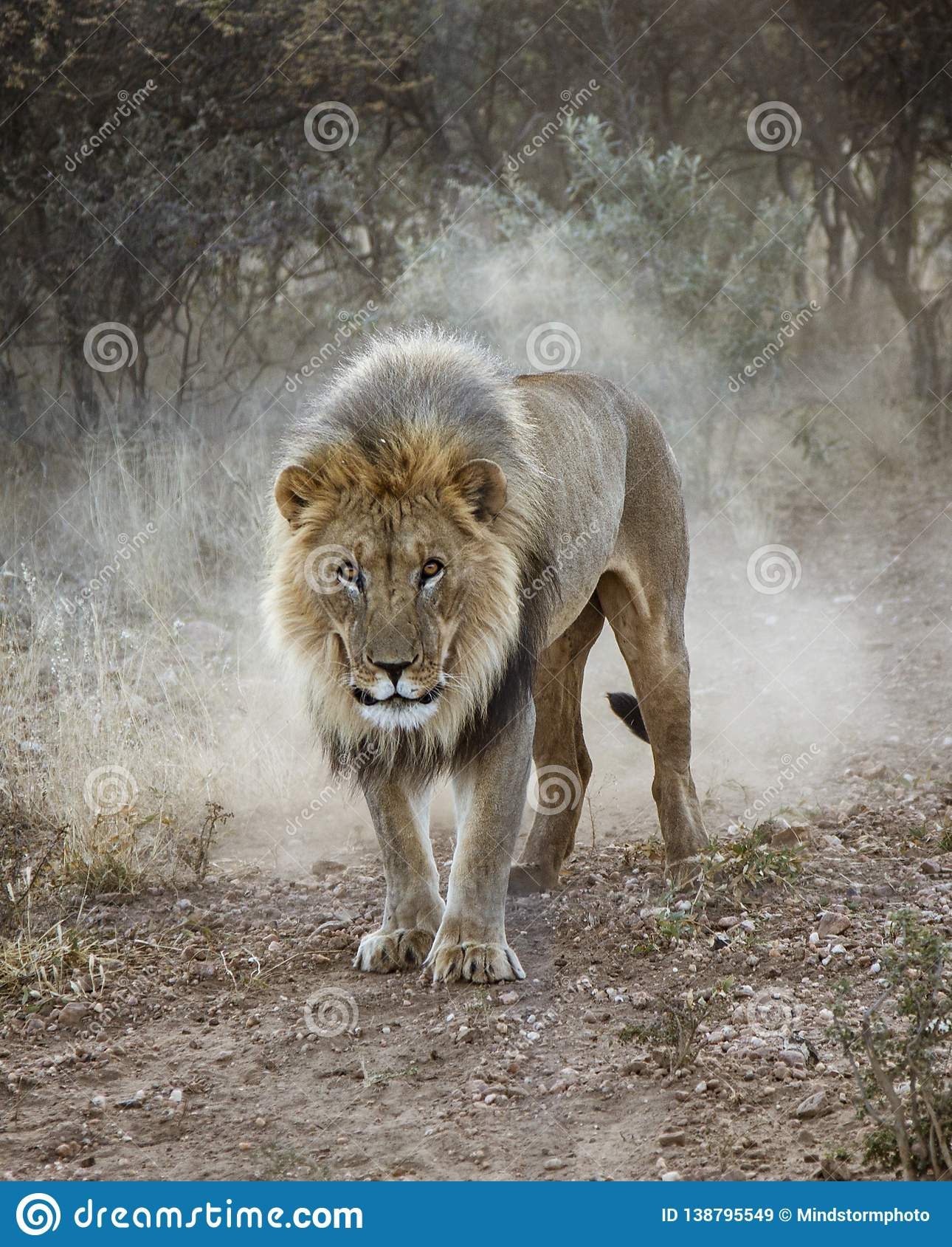 Det stora manliga lejonet går i öknen