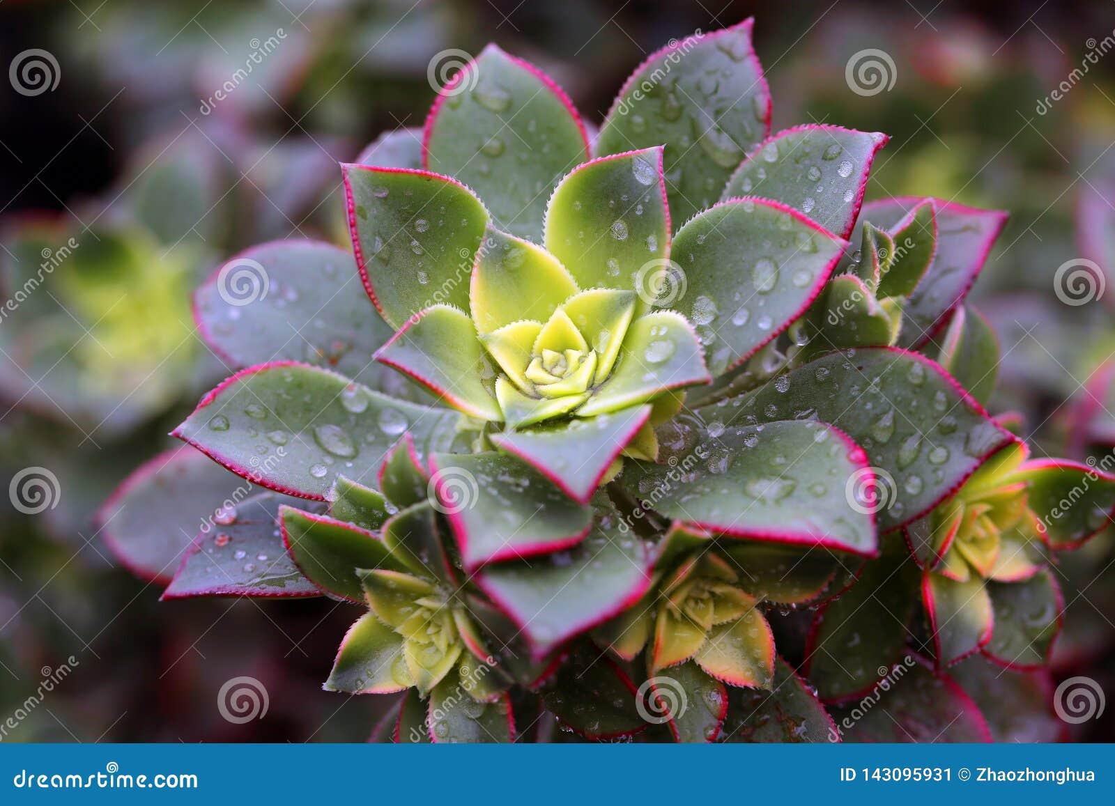 Det suckulenta växttillståndet är mycket härligt