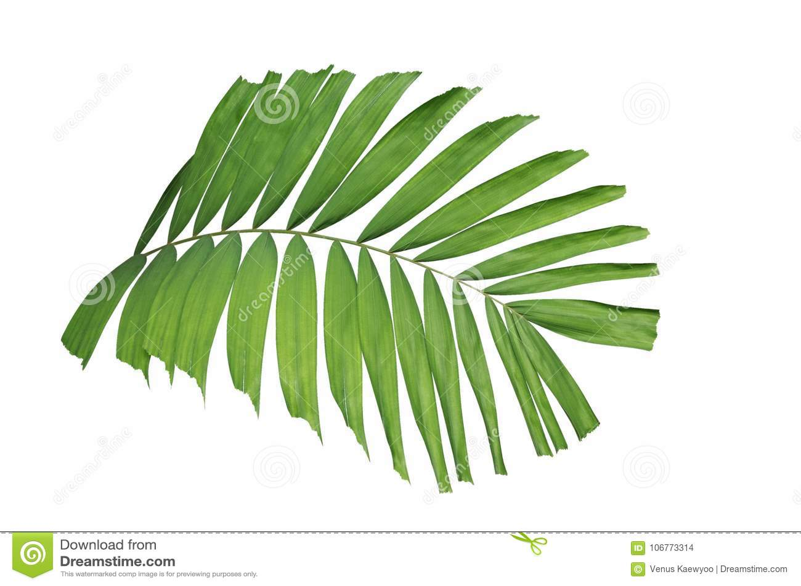Det tropiska gröna bladet gömma i handflatan växten som isoleras på vit bakgrund, bana