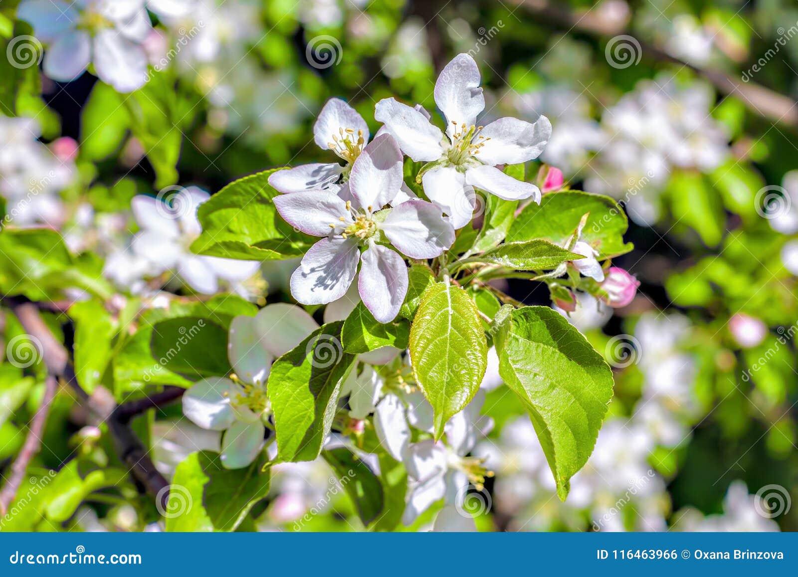 Det vita äppleträdet blommar closeupen Att blomma blommar i en solig bakgrund för vårdag