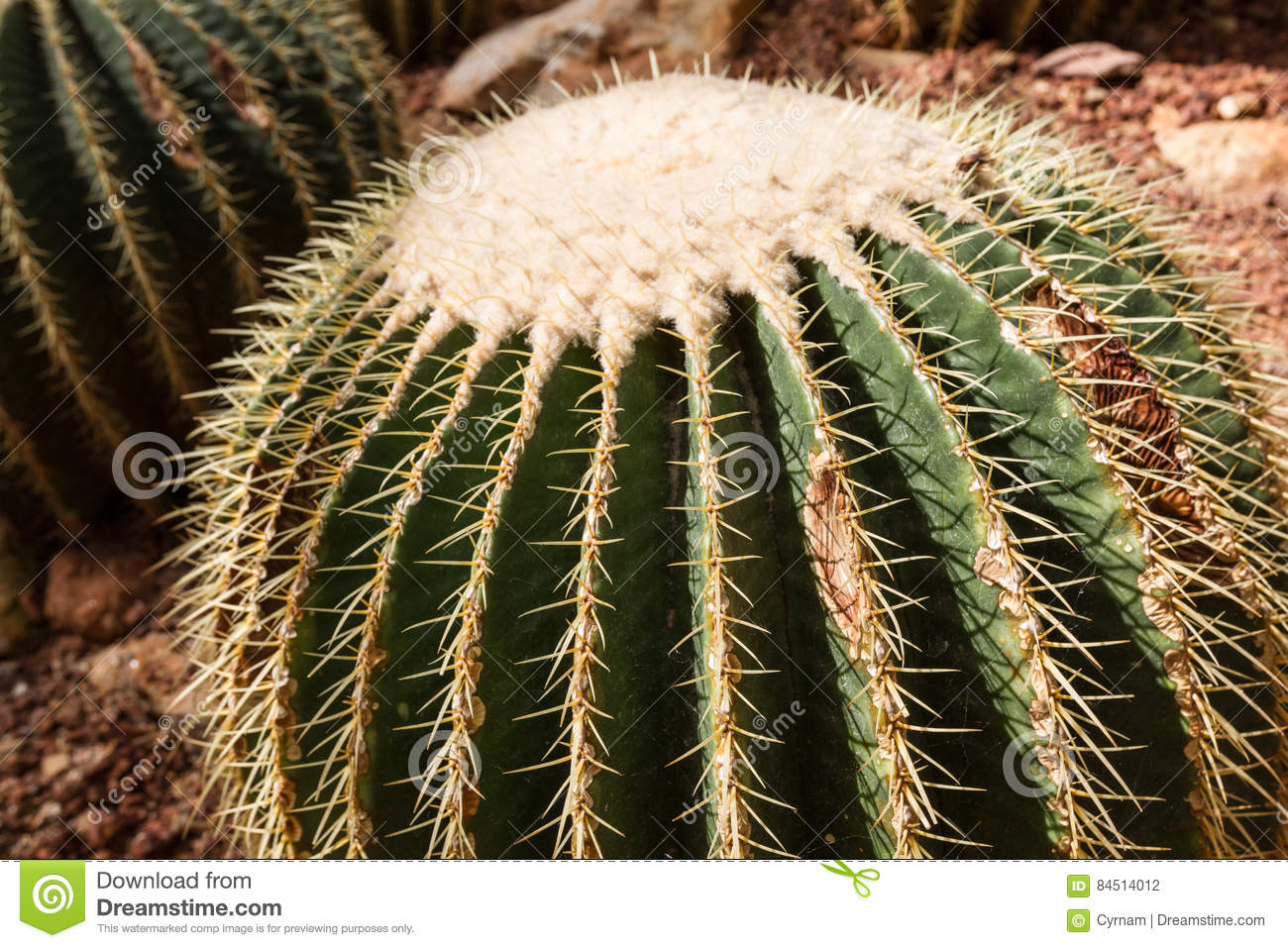 Detail of a beautiful golden barrel cactus echinocactus grusonii in botanical garden