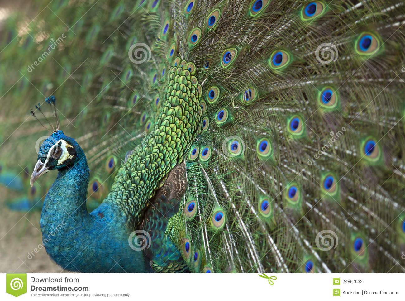 Detail of beautiful peacock with feathers stock photo image 24867032 - Beautiful peacock feather ...