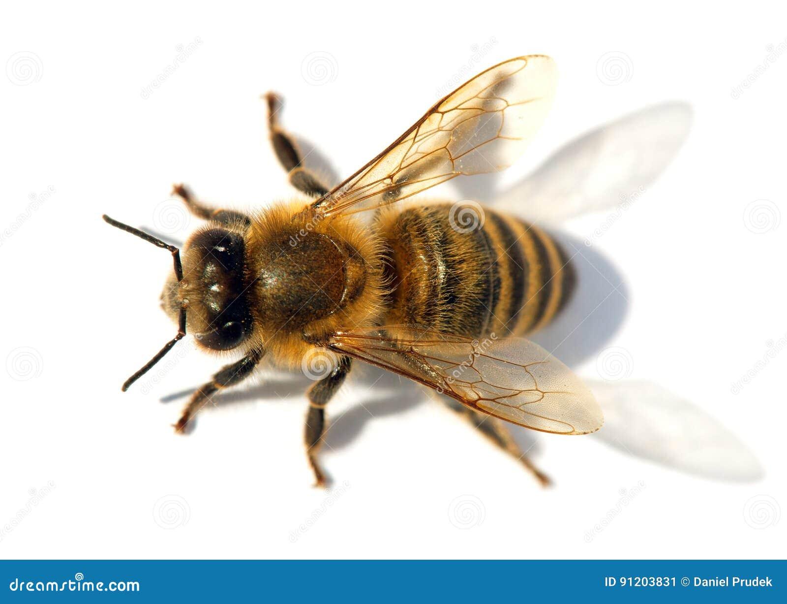 Detail Of Bee Or Honeybee , Apis Mellifera Stock Image