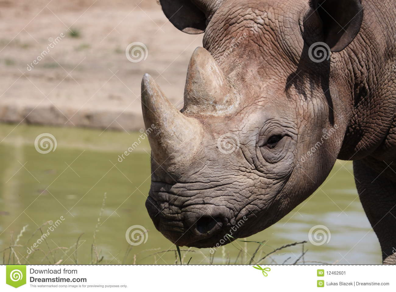 Download Detail of black rhinoceros stock image. Image of detail - 12462601