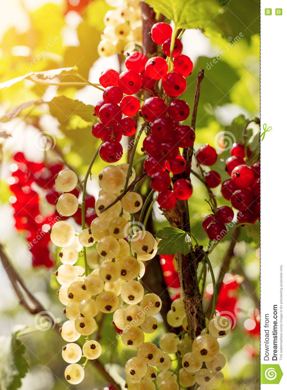 Detail on a bunch of red and white currant on a branch with green leaves