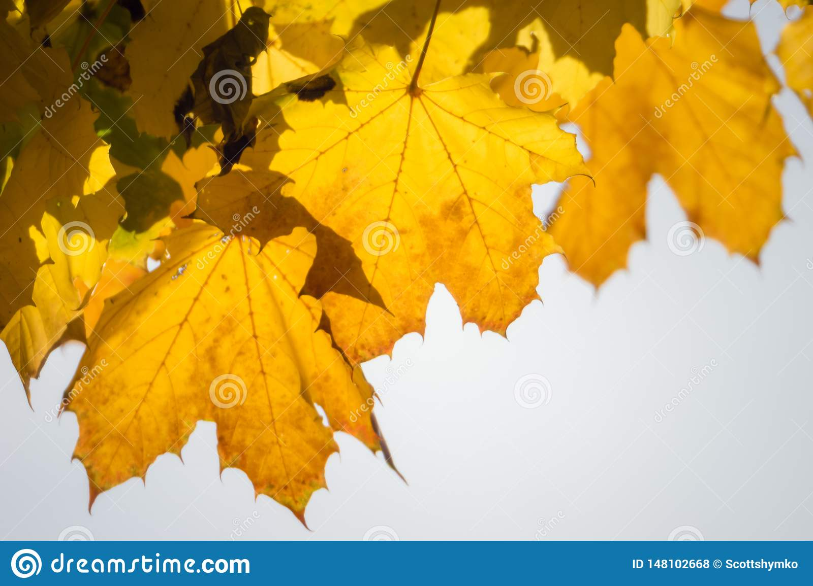 Yellow maple leaves cling to their tree