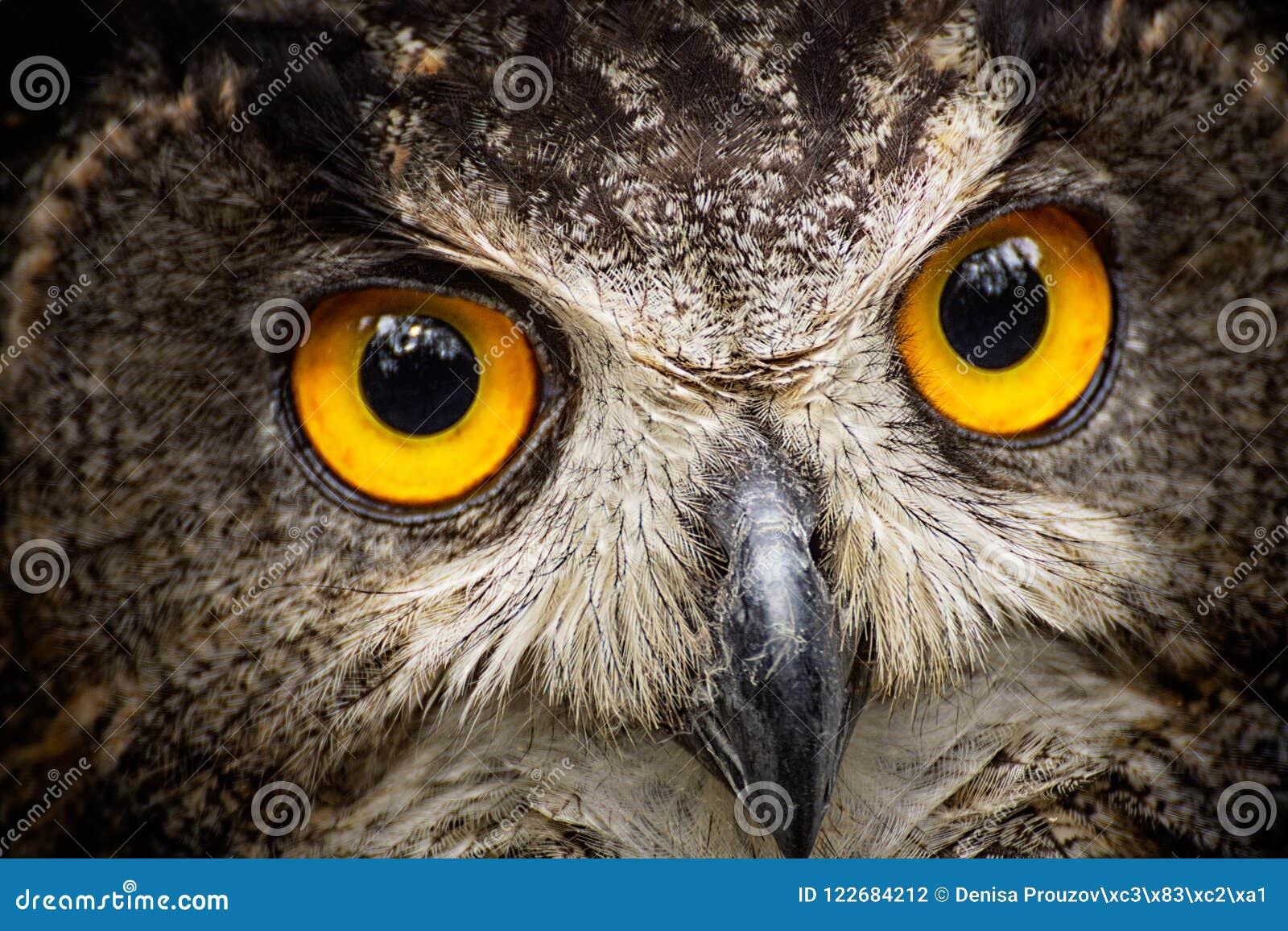 Detail close-up owl bubo bubo