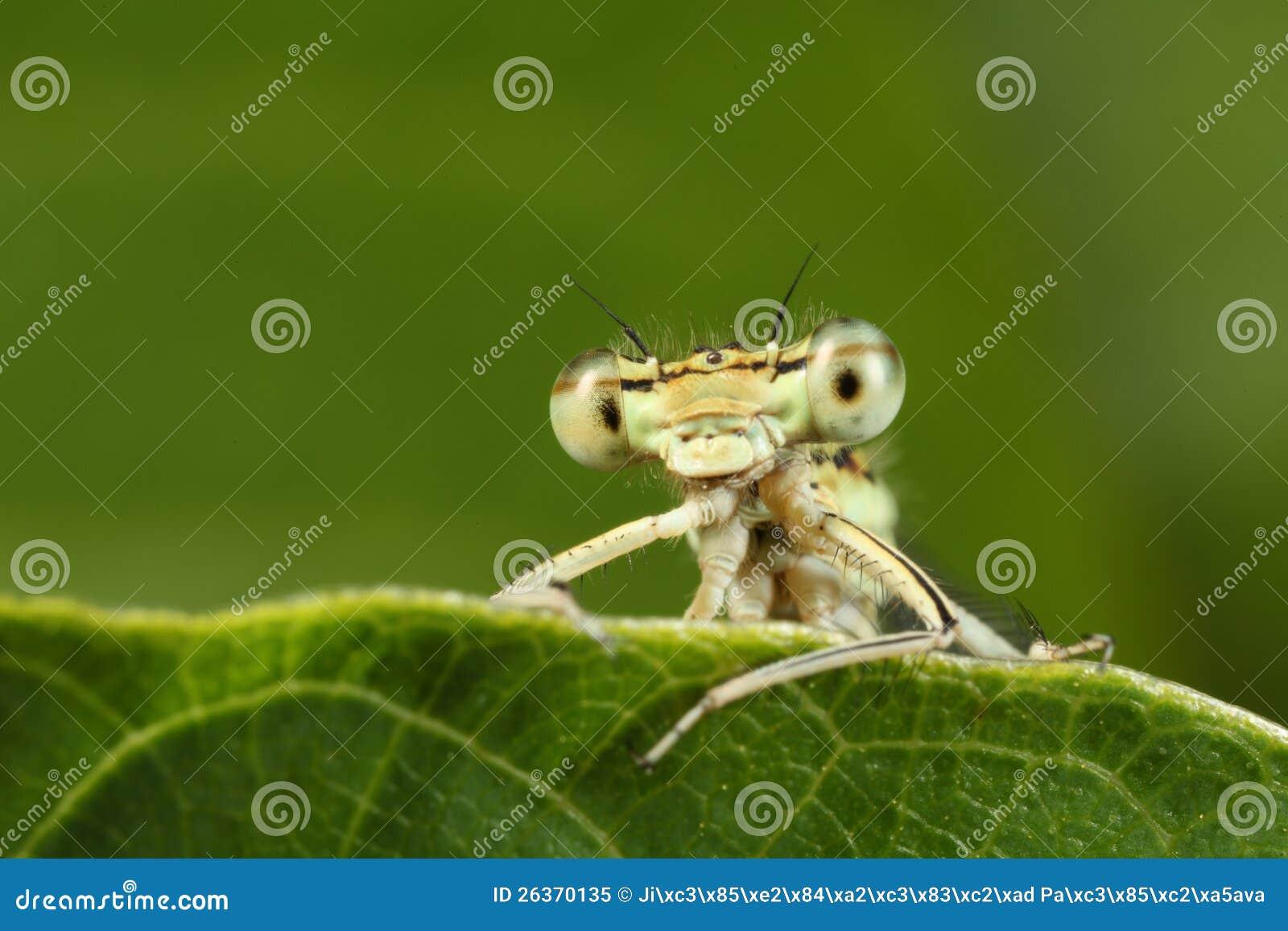 Detail der gelben Libelle