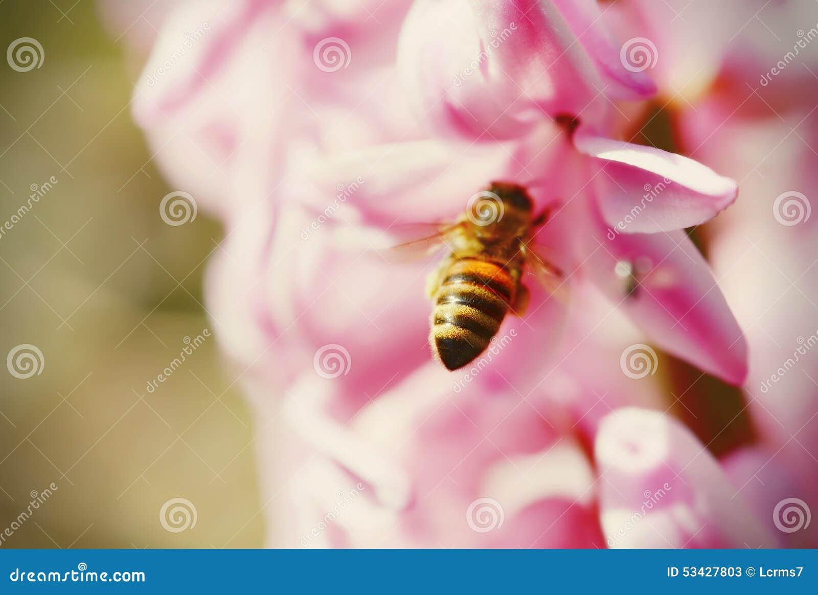 Detail der Honigbiene sitzend auf rosa Hyazinthe