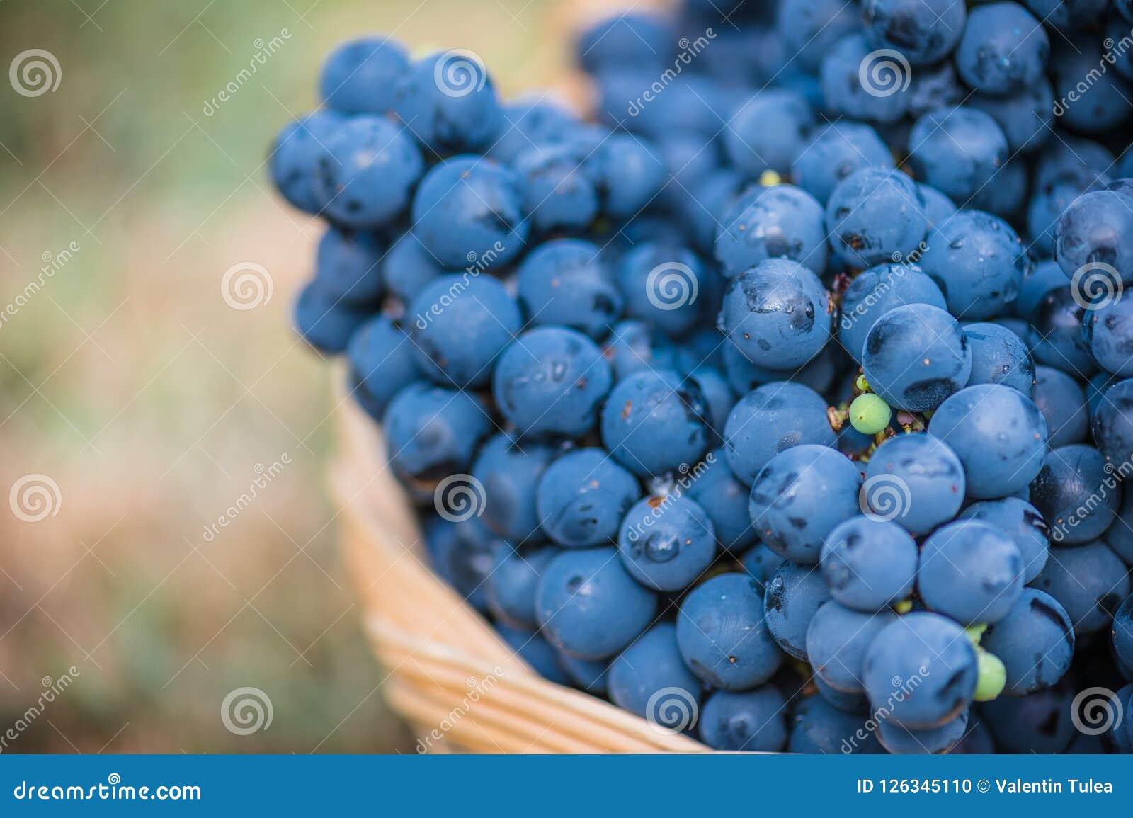 Detail eines Korbes mit Trauben Ernte der blauen Traube Lebensmittel, Burgunder Herbst im Garten