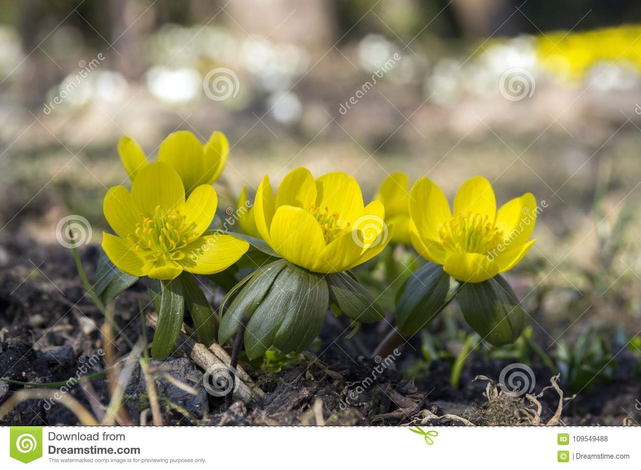 Detail Of Eranthis Hyemalis Early Spring Flowers In Bloom Winter
