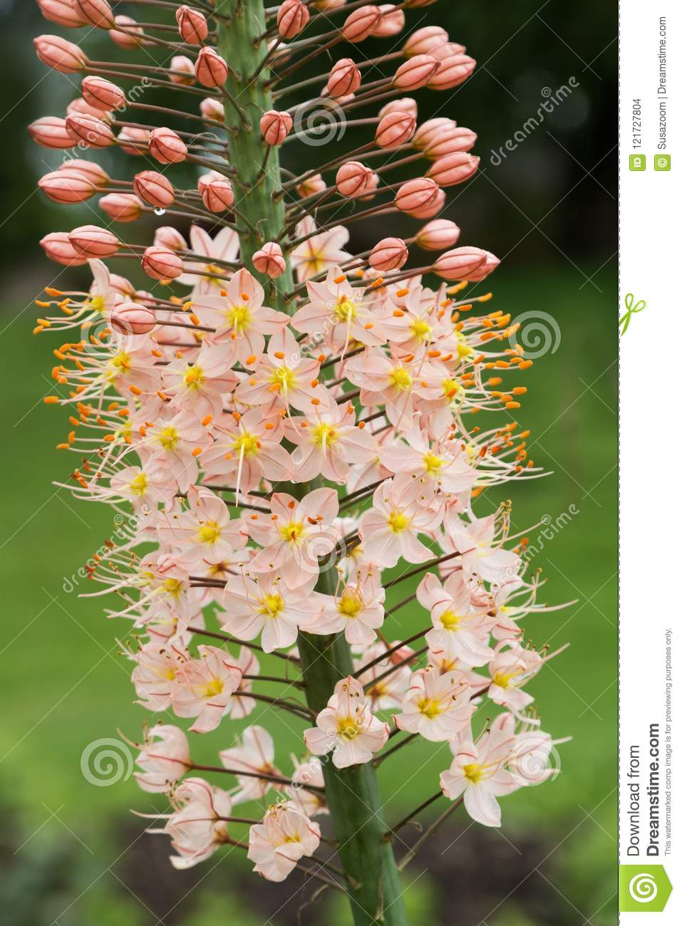 Detail Of Eremurus Himalaicus Foxtail Lily Stock Photo Image Of