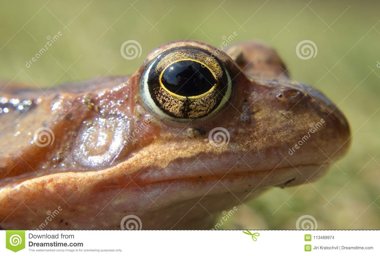 Detail eye frog in the wild on a green background