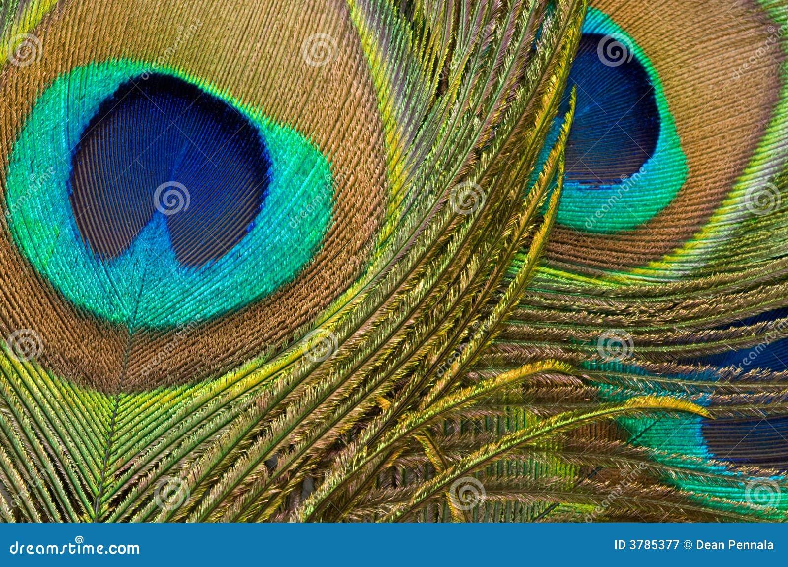 Detail fjäderpåfågeln