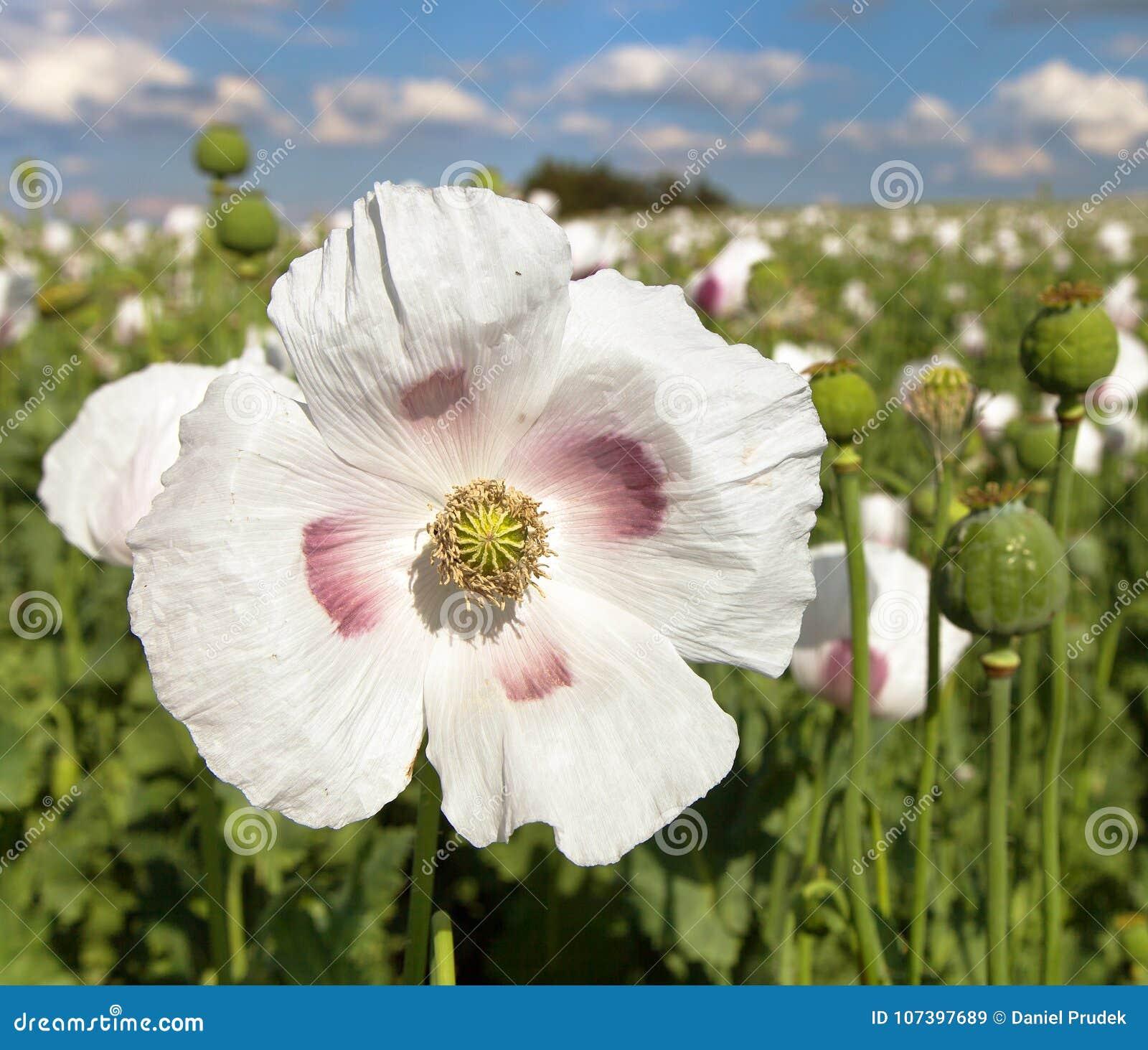 Detail Of Flowering Opium Poppy Poppy Field Stock Image Image Of