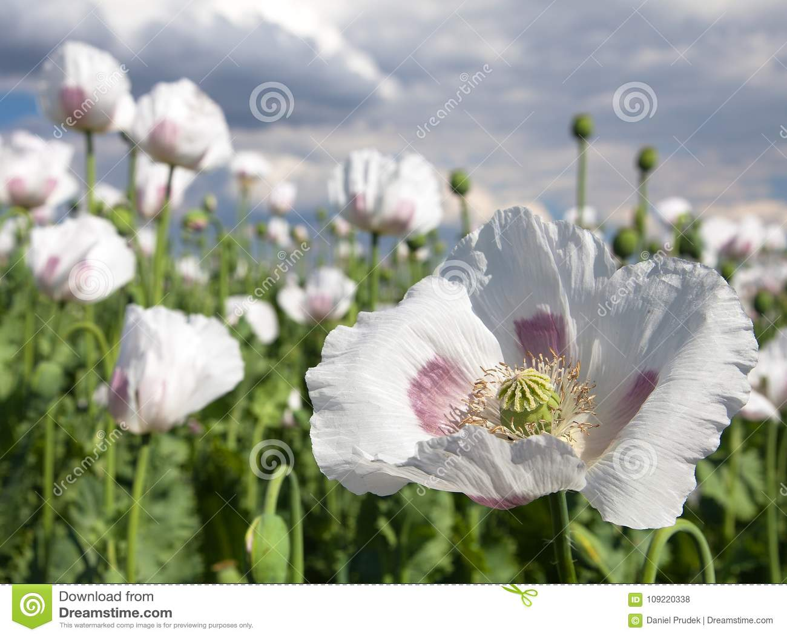 Detail Of Flowering Opium Poppy Poppy Field Stock Photo Image Of