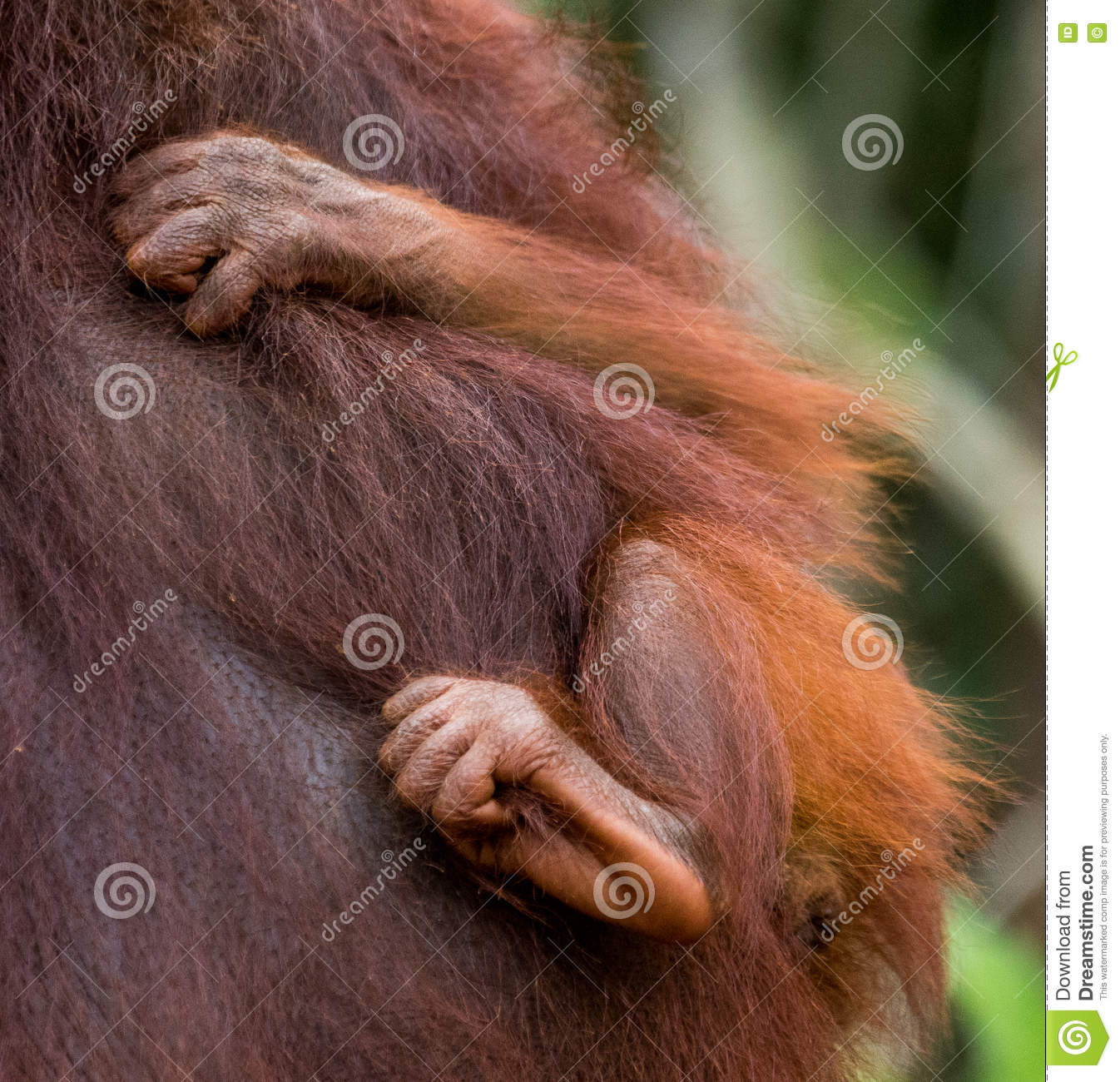Detail of the front hand orangutan. Close-up. Indonesia. The island of Kalimantan Borneo.