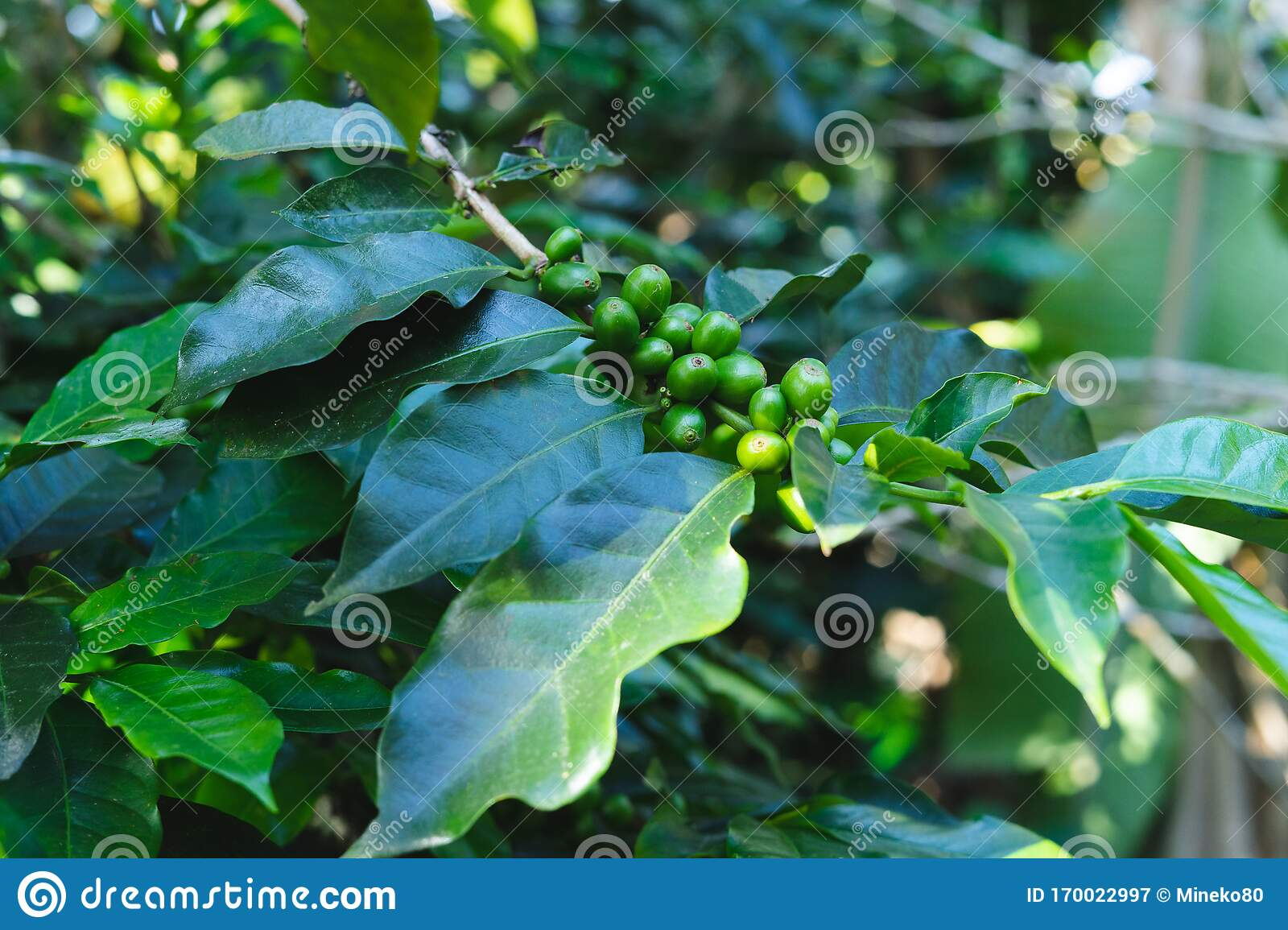 Detail Of Green Coffee Beans In The Plant Coffee Concept Stock