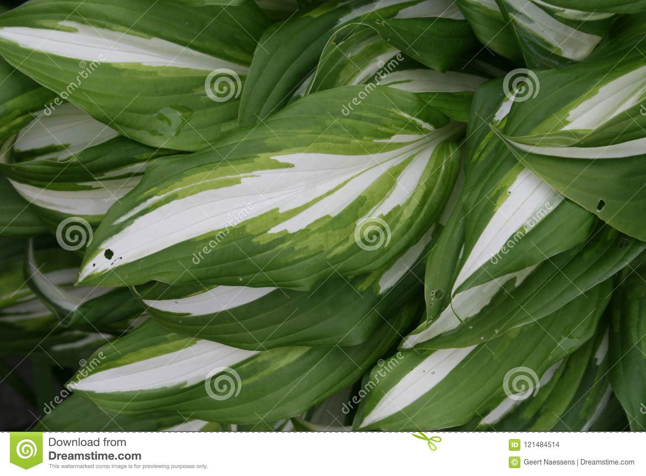 Hosta Leaves Large Leaves In Green And White Stock Photo Image Of