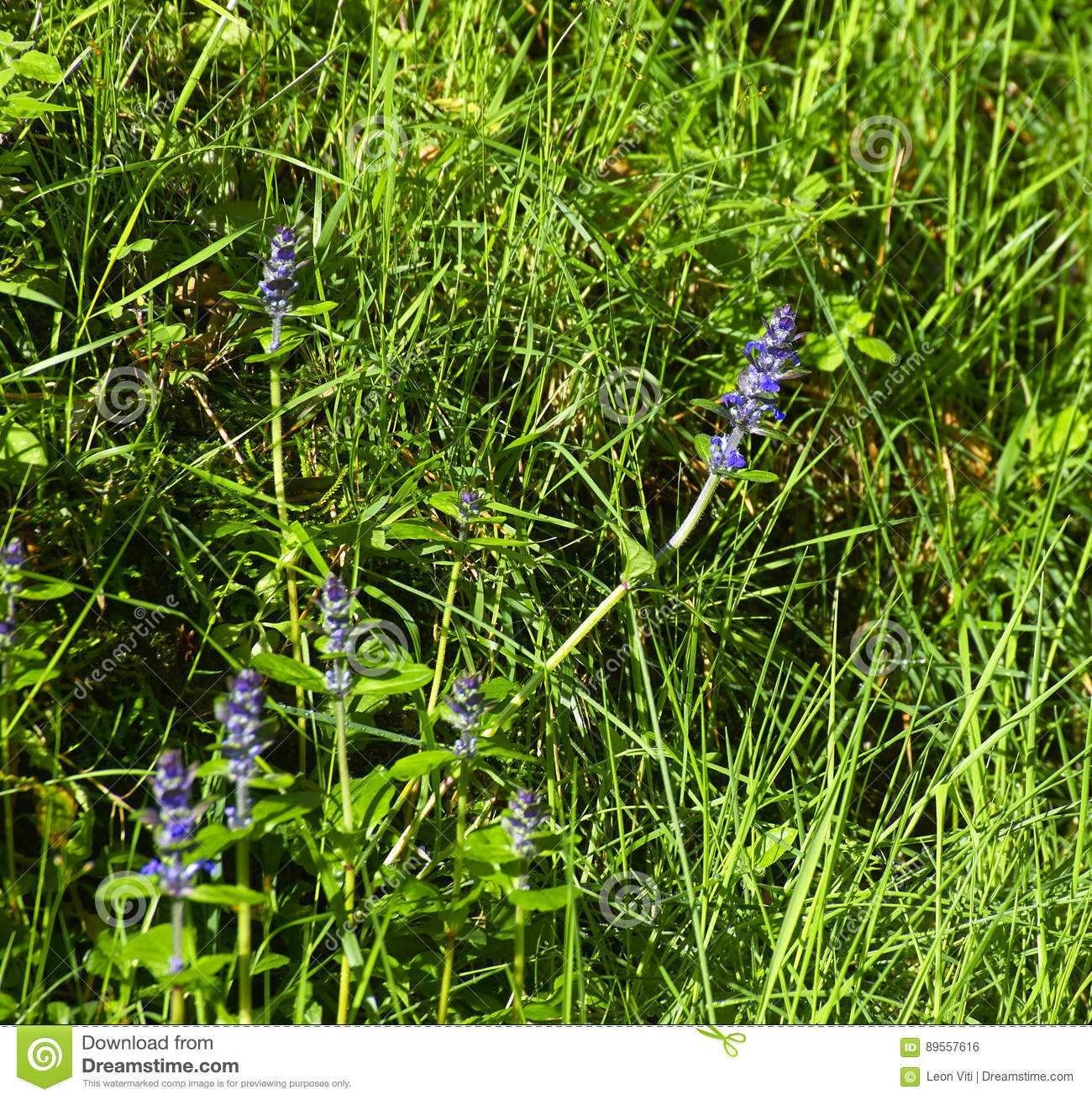 detail of Hyssopus officinalis plant in a meadow